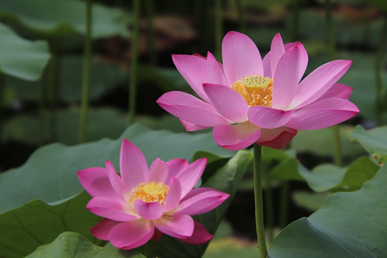 Фотографии Розовый Лотос цветок Крупным планом розовая розовые розовых Цветы вблизи