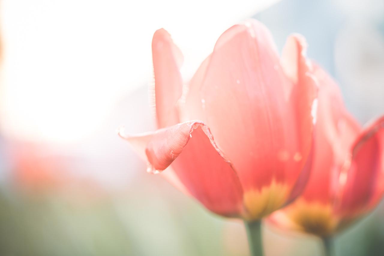Фотография Размытый фон розовая Тюльпаны цветок Крупным планом боке розовых розовые Розовый тюльпан Цветы вблизи