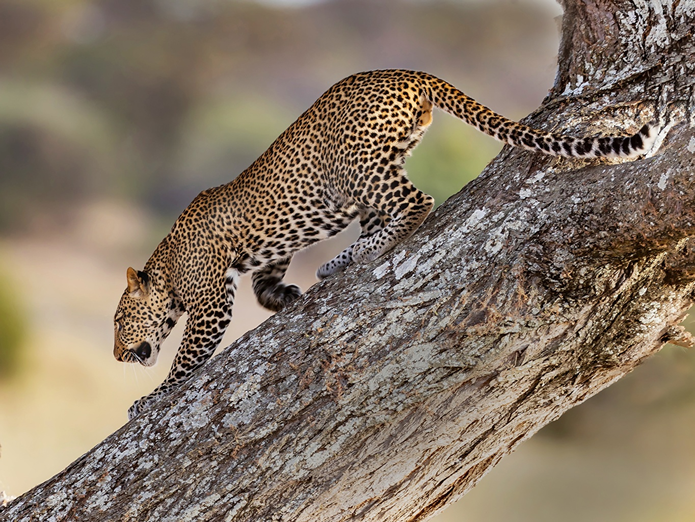 Картинка Леопарды Ствол дерева Животные