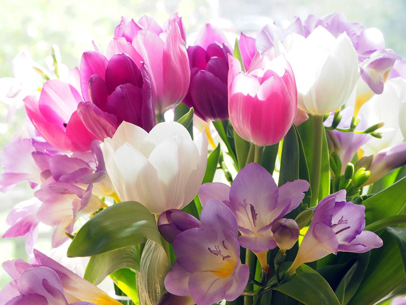 Фотография тюльпан цветок Крокусы вблизи Тюльпаны Цветы Шафран Крупным планом