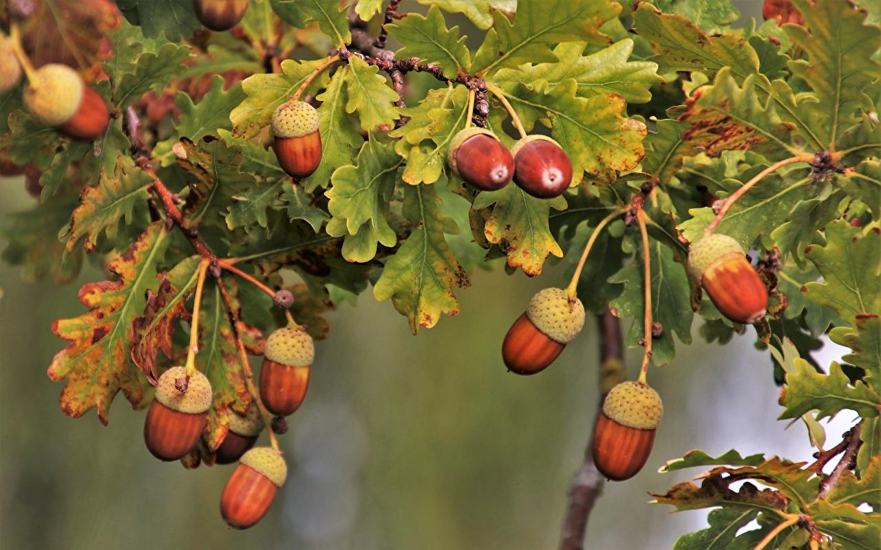 Картинка Природа Жёлудь Дуб Ветки лист ветвь ветка на ветке Листва Листья