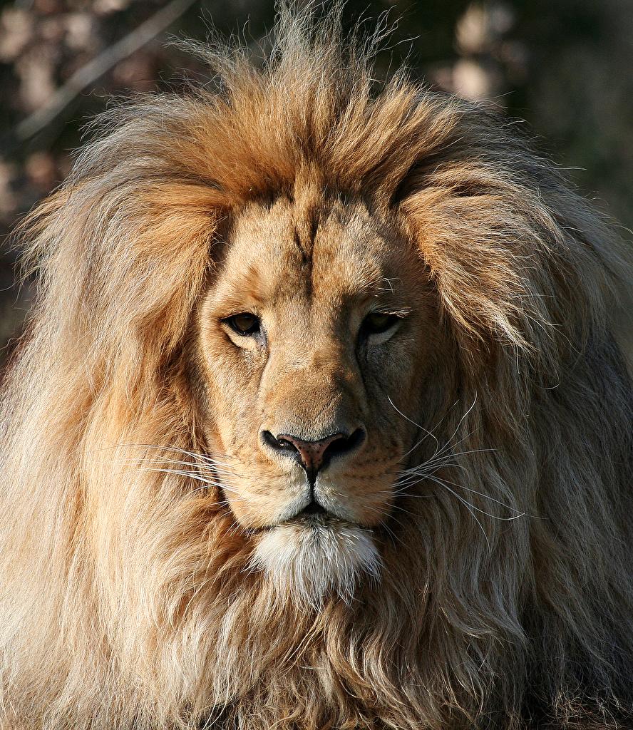 Картинка лев Большие кошки морды Взгляд Животные  для мобильного телефона Львы Морда смотрит смотрят животное