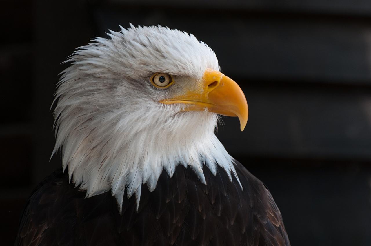 Фотография Белоголовый орлан Орлы птица Клюв головы смотрят животное Черный фон орел Птицы Взгляд Голова смотрит Животные на черном фоне