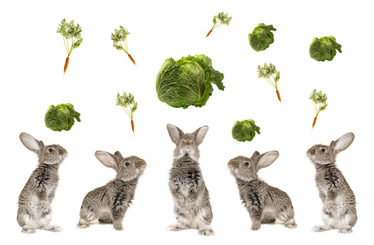 Фотографии кролик Капуста морковка животное Белый фон Кролики Морковь Животные белом фоне белым фоном