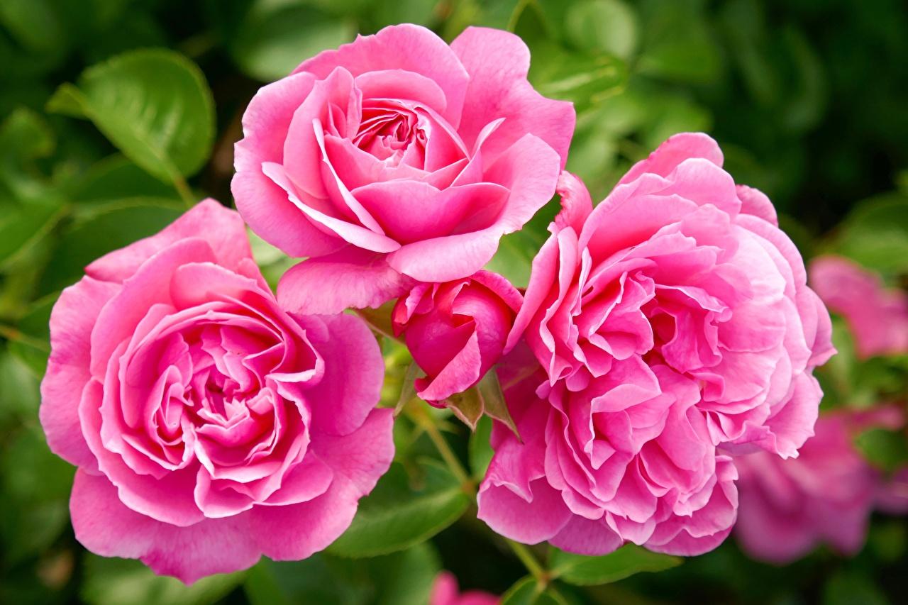 Обои для рабочего стола Розы розовая цветок Крупным планом роза розовых Розовый розовые Цветы вблизи
