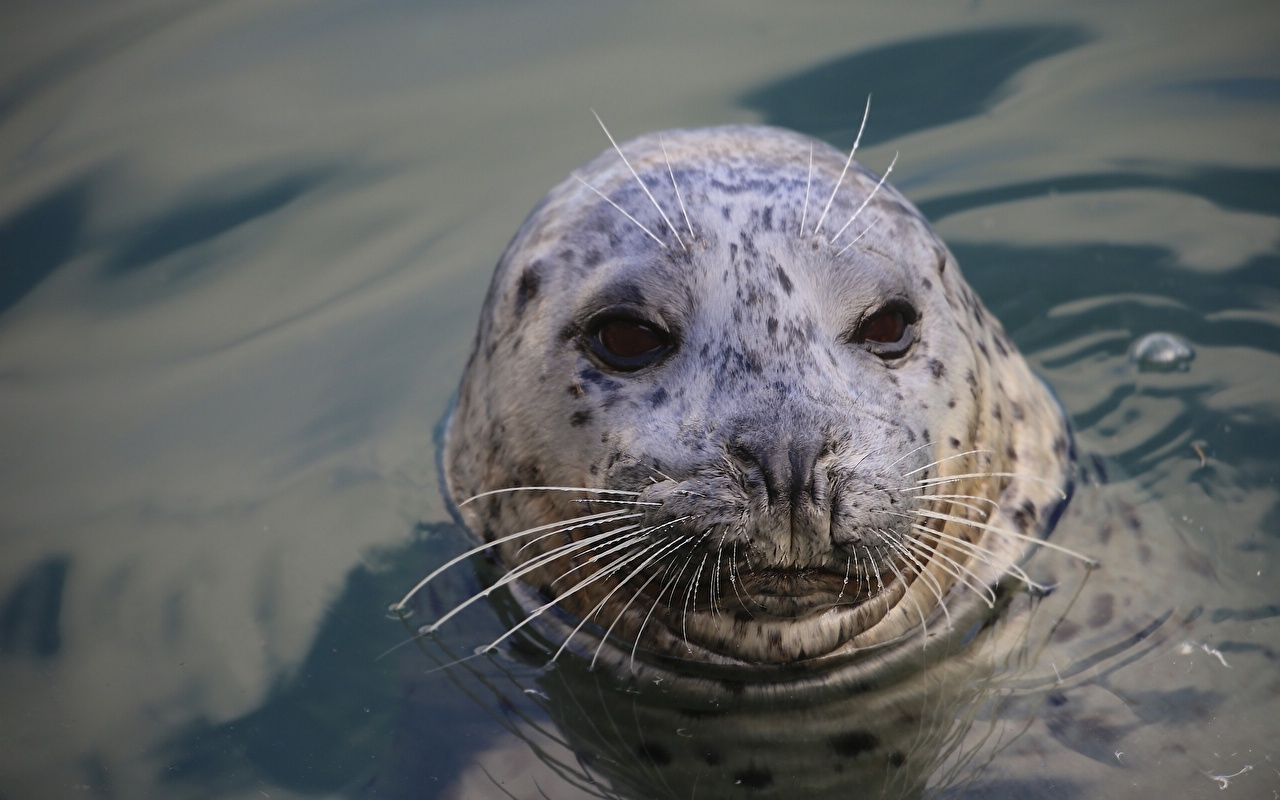 Картинка Тюлени Усы Вибриссы Вода Голова Животные Морские котики воде головы животное