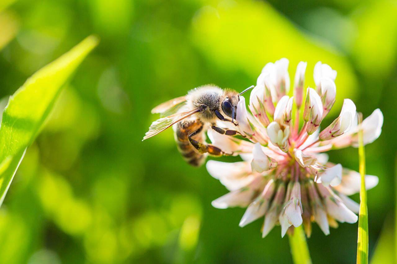 Картинка Пчелы Размытый фон вблизи Животные боке животное Крупным планом