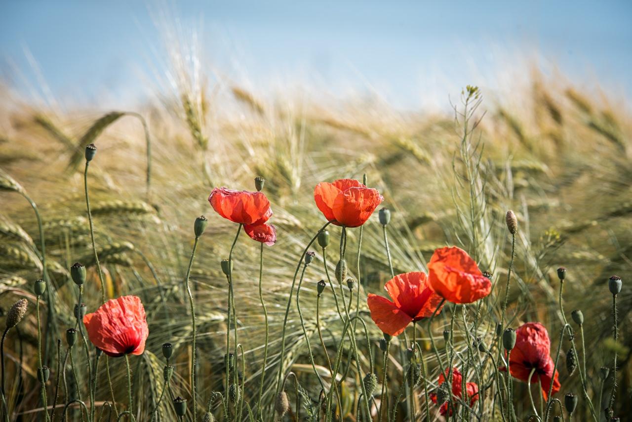 Обои для рабочего стола красных Маки Цветы Колос Бутон Красный красные красная мак цветок колосья колоски колосок