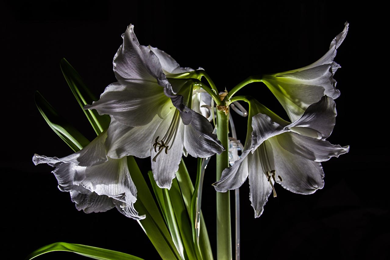 Обои для рабочего стола белых Цветы Амариллис Черный фон Крупным планом Белый белые белая цветок вблизи на черном фоне