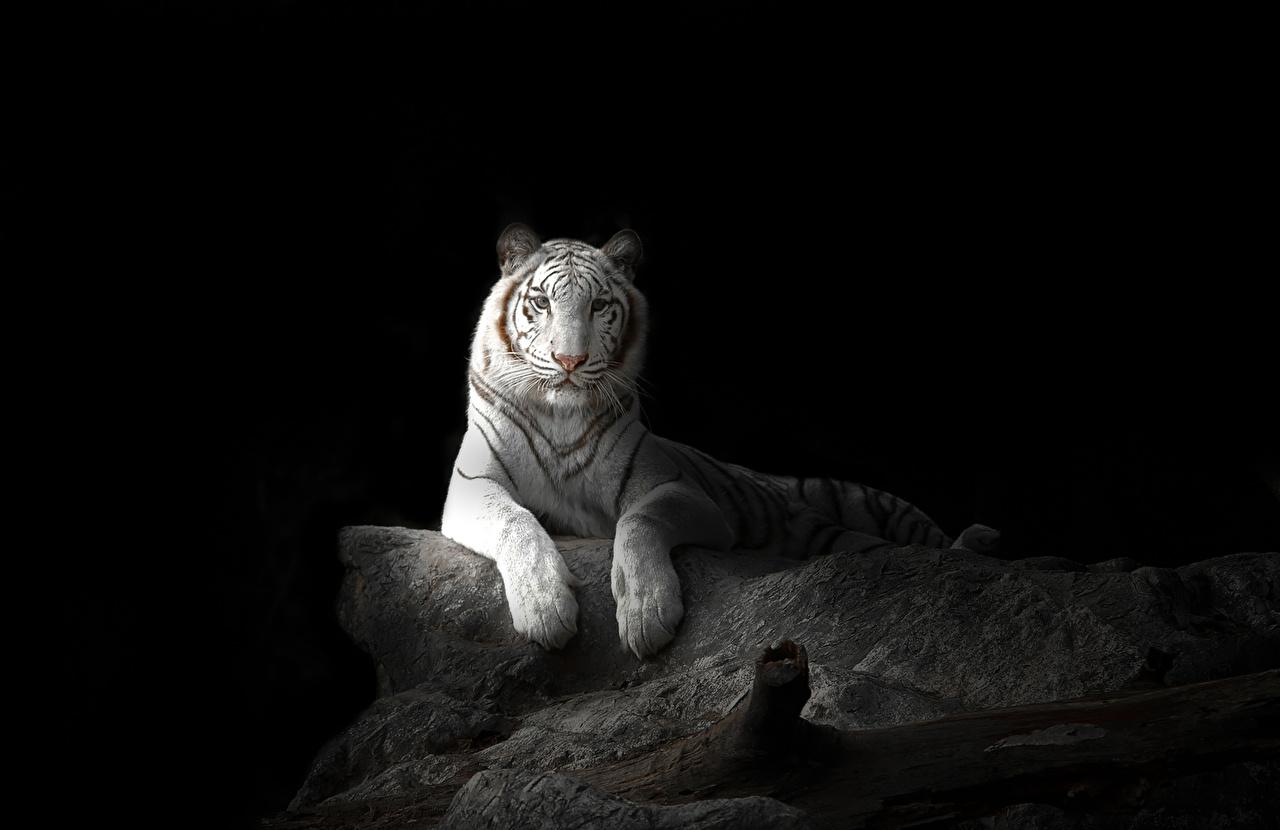 Фотографии Тигры Большие кошки Белый животное на черном фоне тигр белых белые белая Животные Черный фон