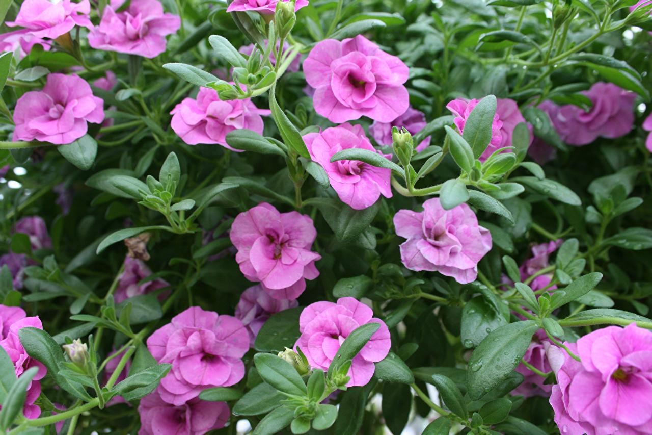 Картинка Фиолетовый Цветы Калибрахоа Крупным планом вблизи