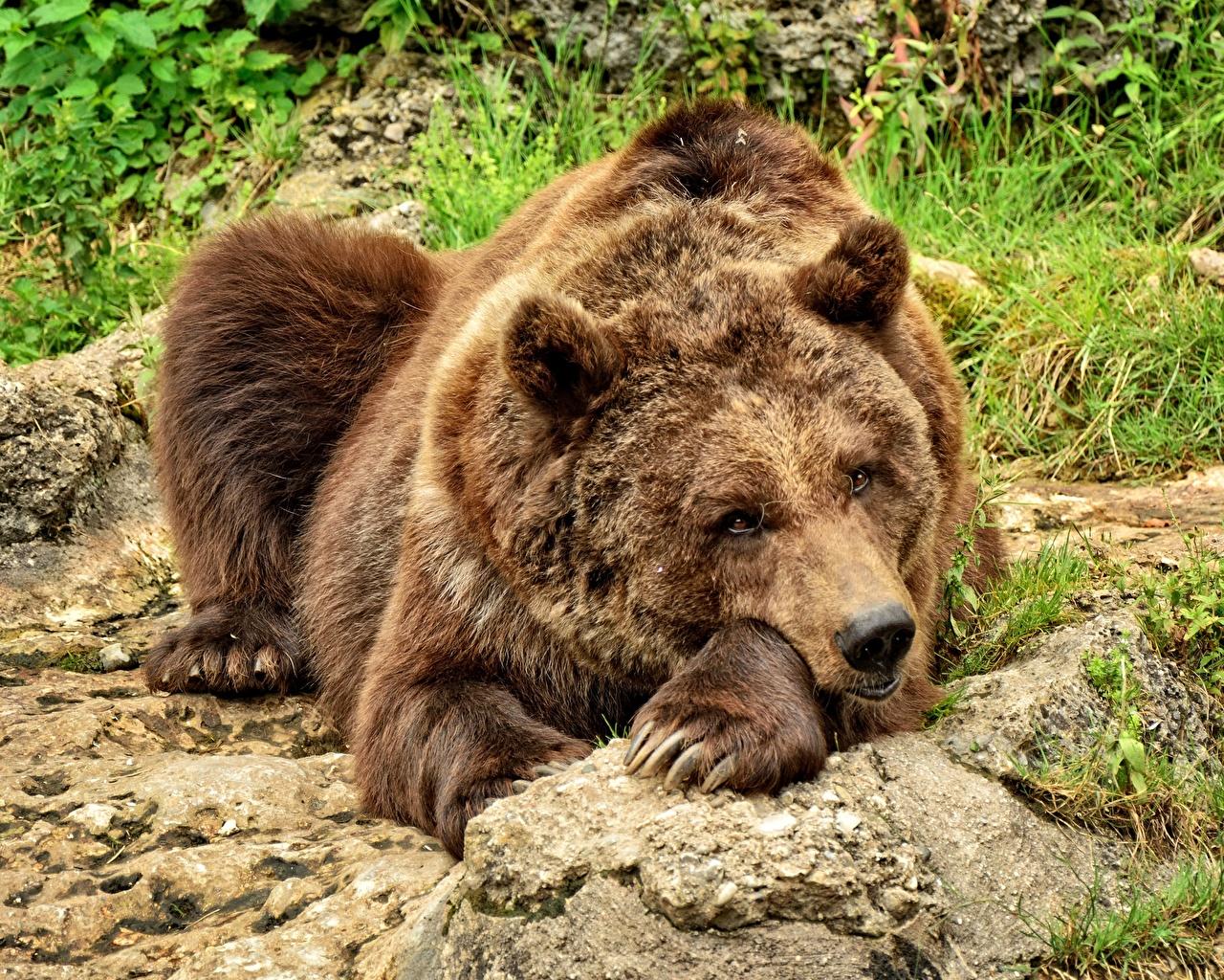 Обои для рабочего стола Гризли Медведи лежат Лапы Взгляд Животные Бурые Медведи медведь лежа Лежит лежачие лап смотрит смотрят животное