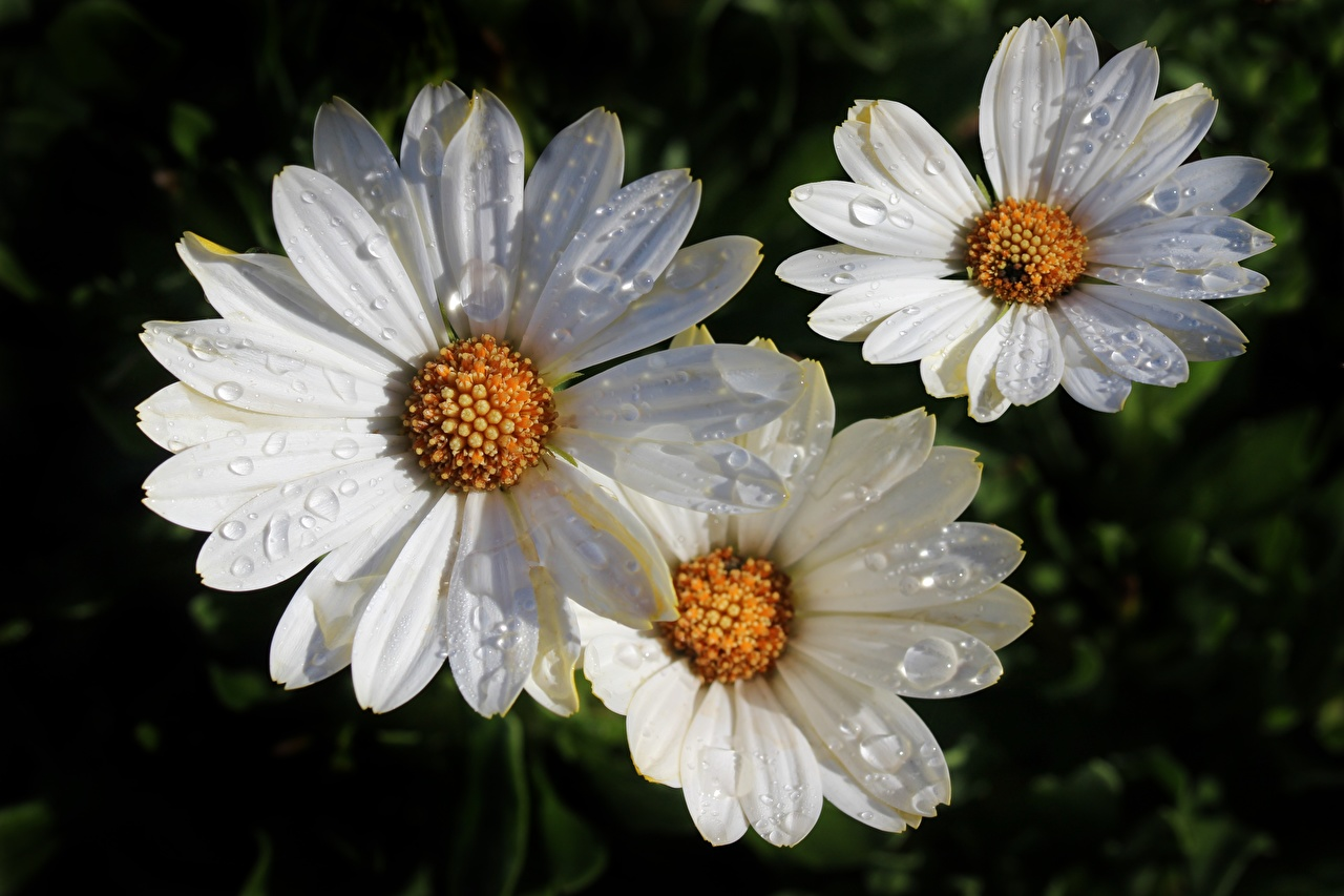 Картинки белые цветок Ромашки капельки вблизи белая Белый белых Капли капля Цветы капель ромашка Крупным планом
