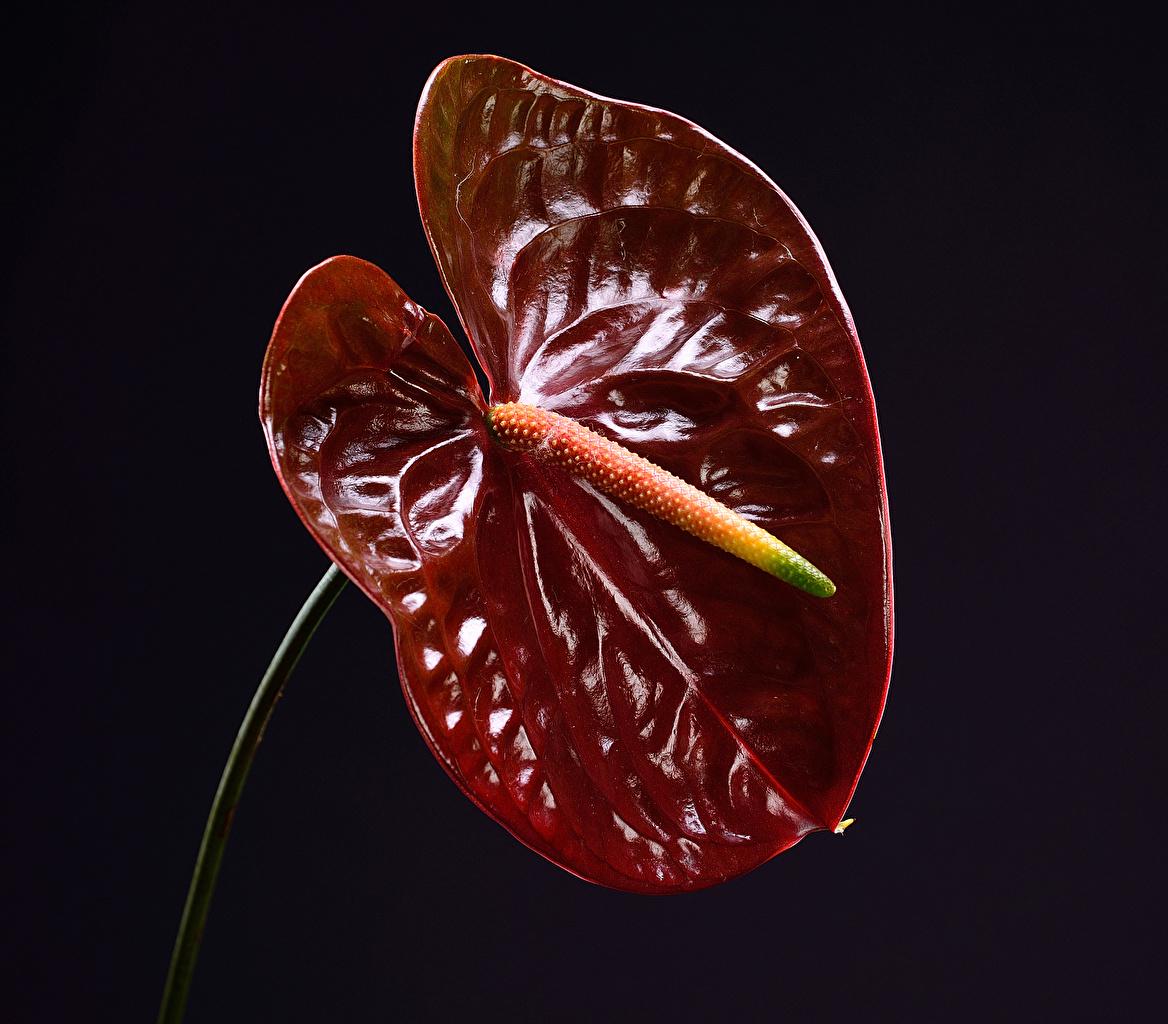 Фотография бордовая цветок Антуриум вблизи Черный фон Бордовый бордовые темно красный Цветы на черном фоне Крупным планом