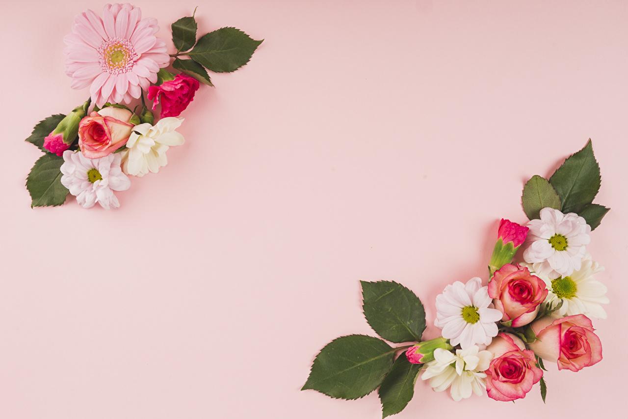 Фотографии Розы Герберы цветок Хризантемы Розовый фон роза гербера Цветы
