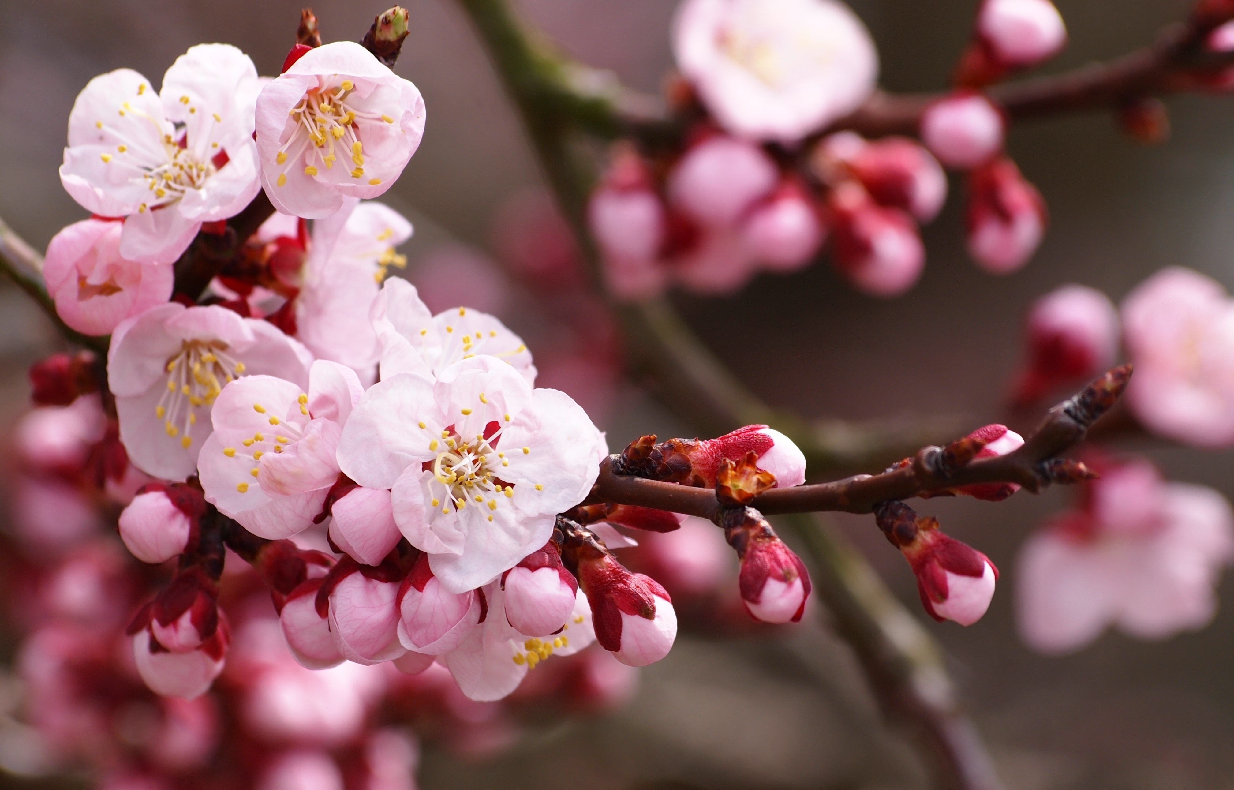 cherry blossom pictures - HD