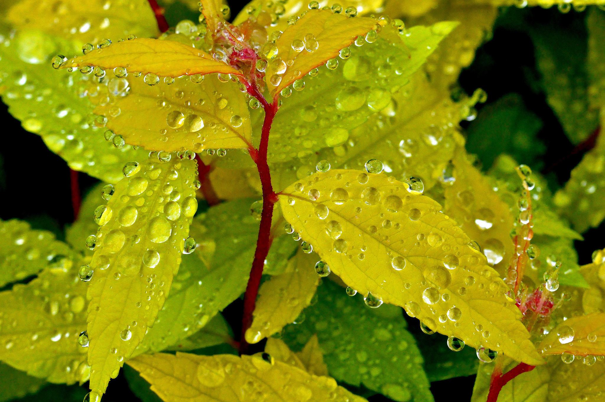 роса листья бесплатно