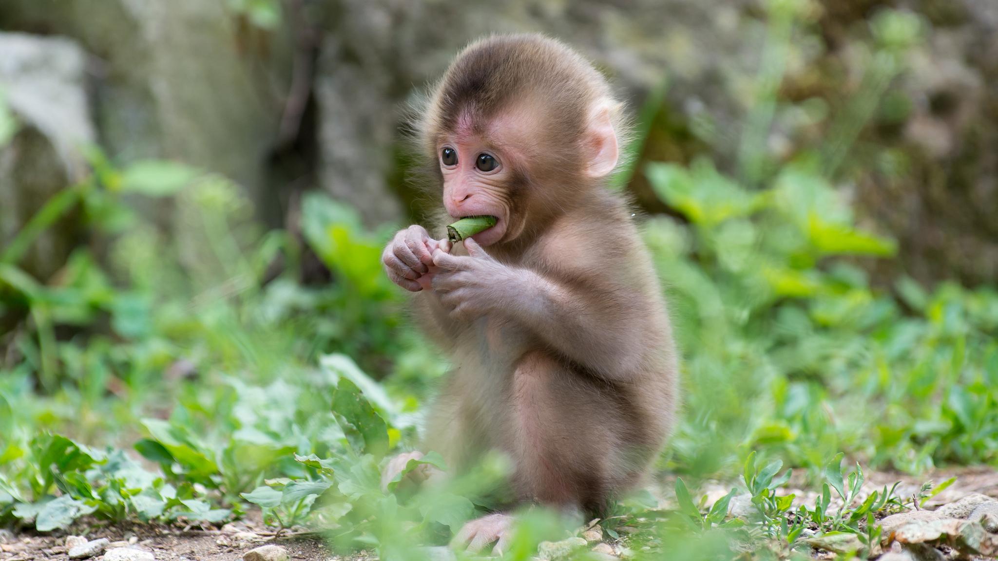 Шимпанзе загрузить