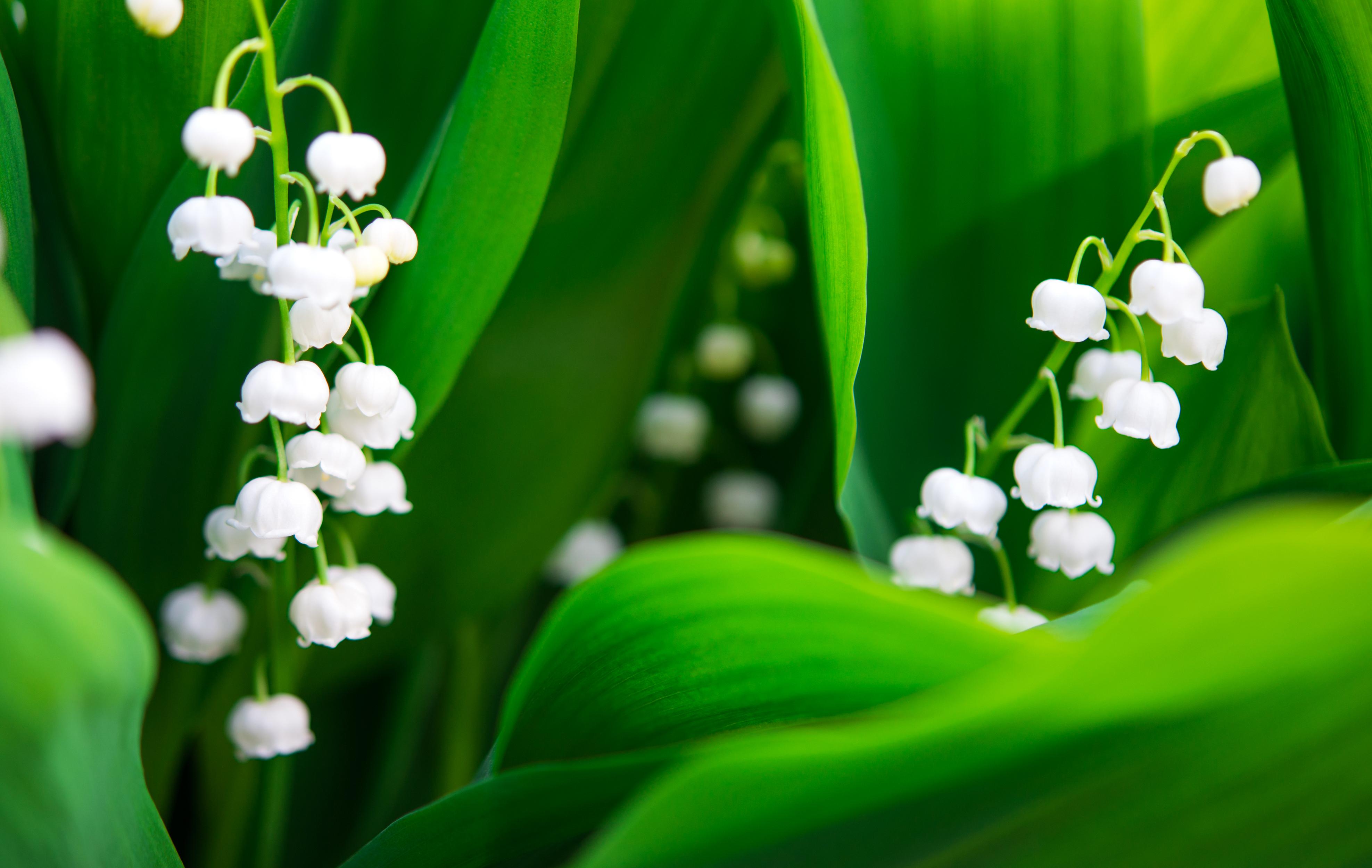 Ландыш цветок капли скачать