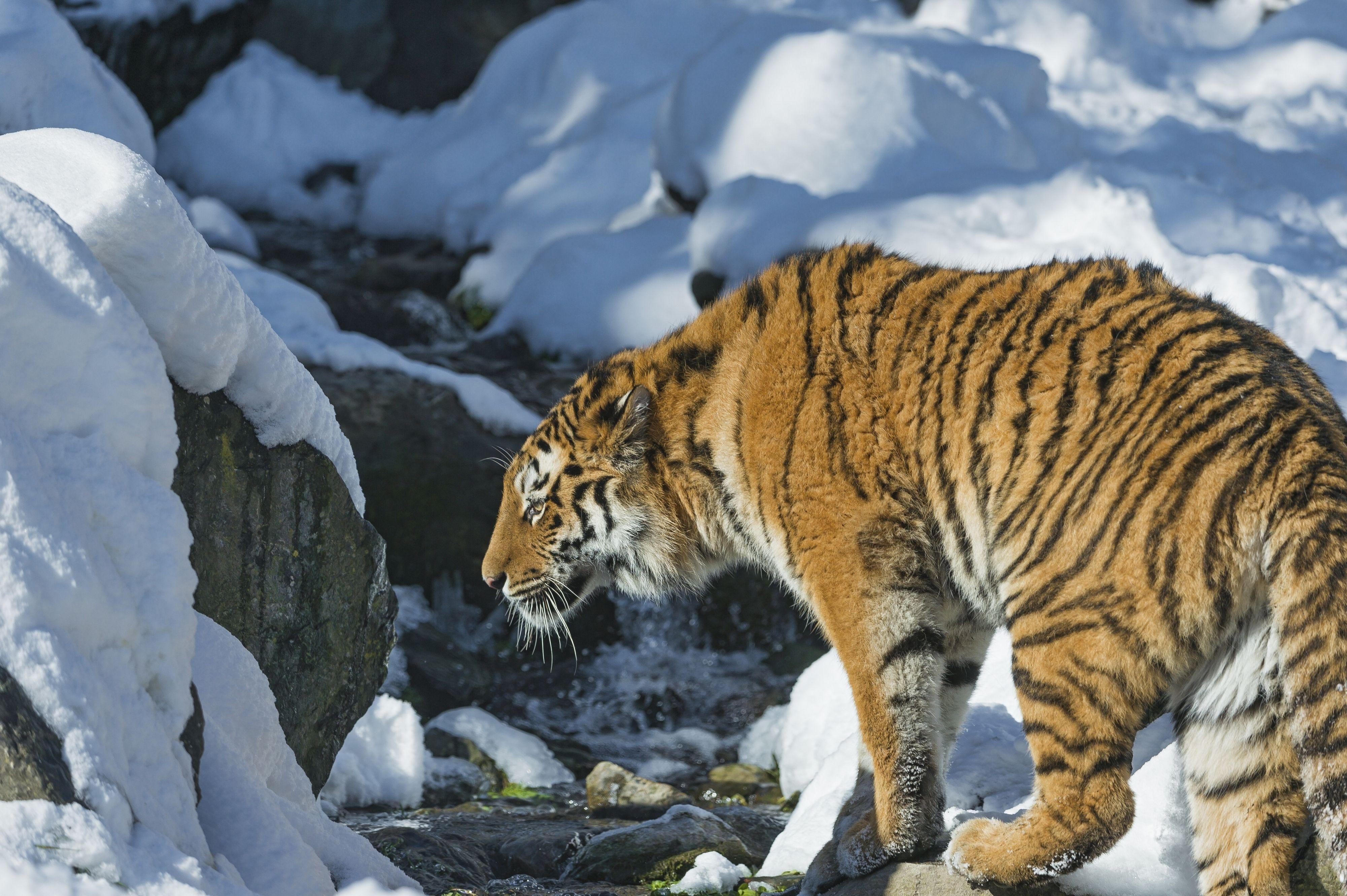 тигр на снегу без смс