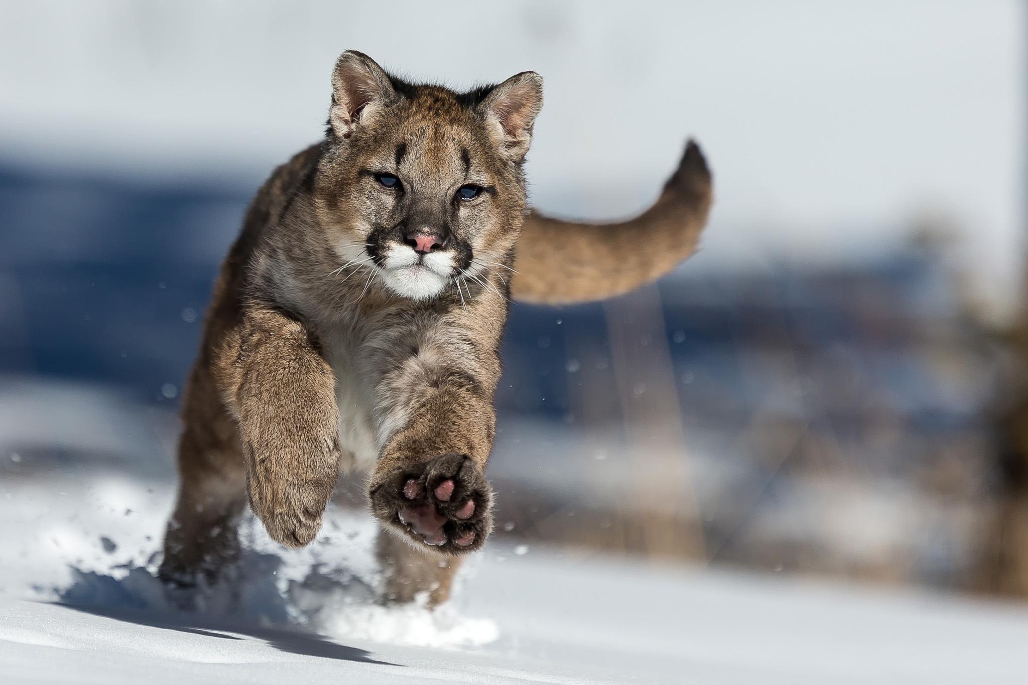 природа животные снег зима ягуар без смс