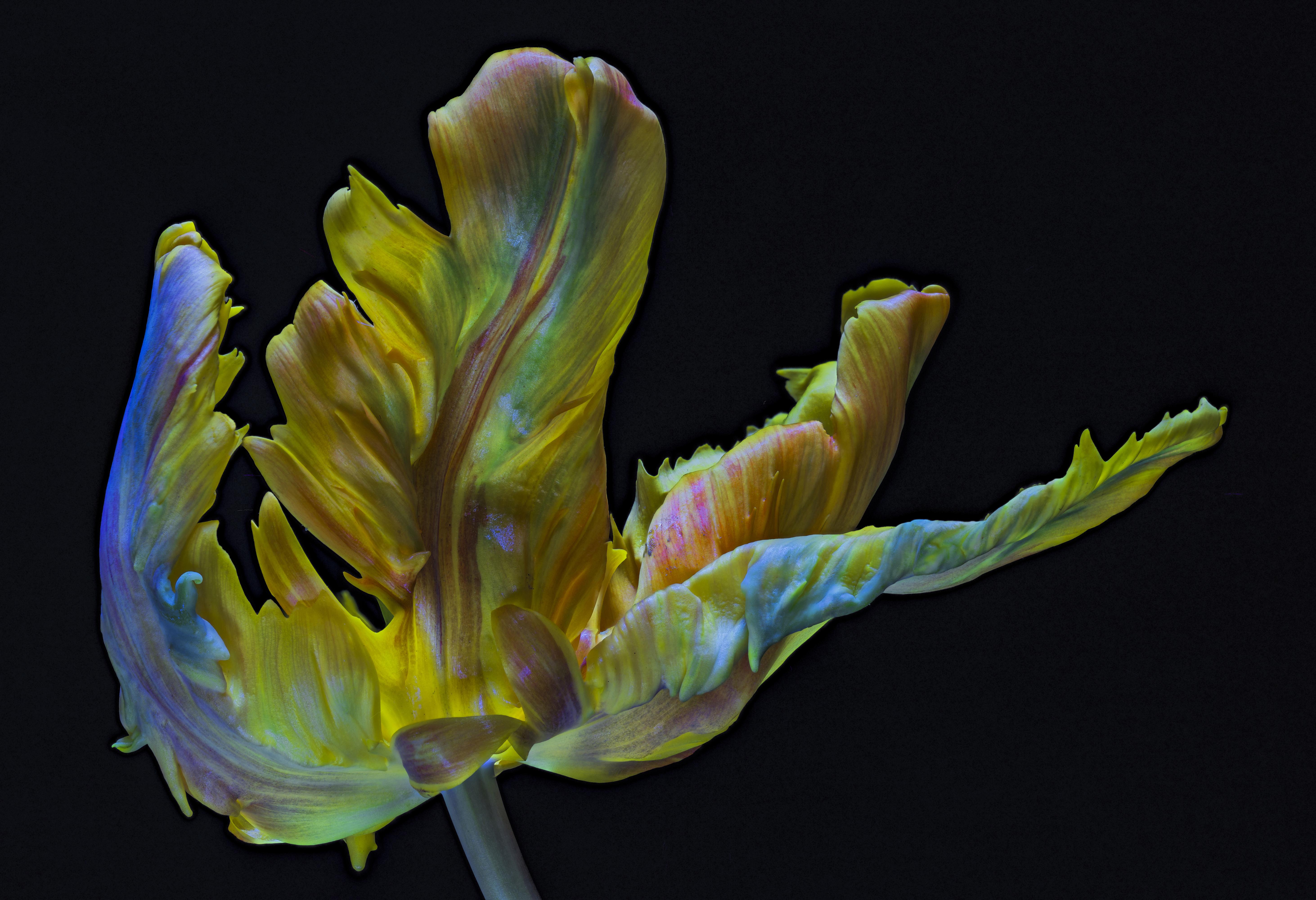 Обои для рабочего стола Parrot Tulip тюльпан Цветы вблизи на черном фоне 5850x4000 Тюльпаны цветок Черный фон Крупным планом