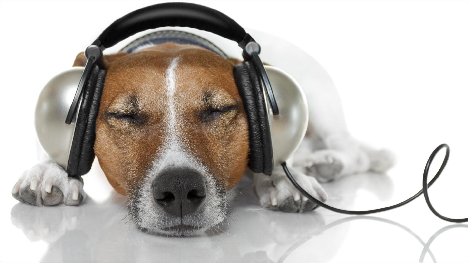 Картинка Джек-рассел-терьер Собаки Наушники Спит Отдых морды животное Белый фон собака в наушниках сон спят спящий релакс отдыхает Морда Животные белом фоне белым фоном