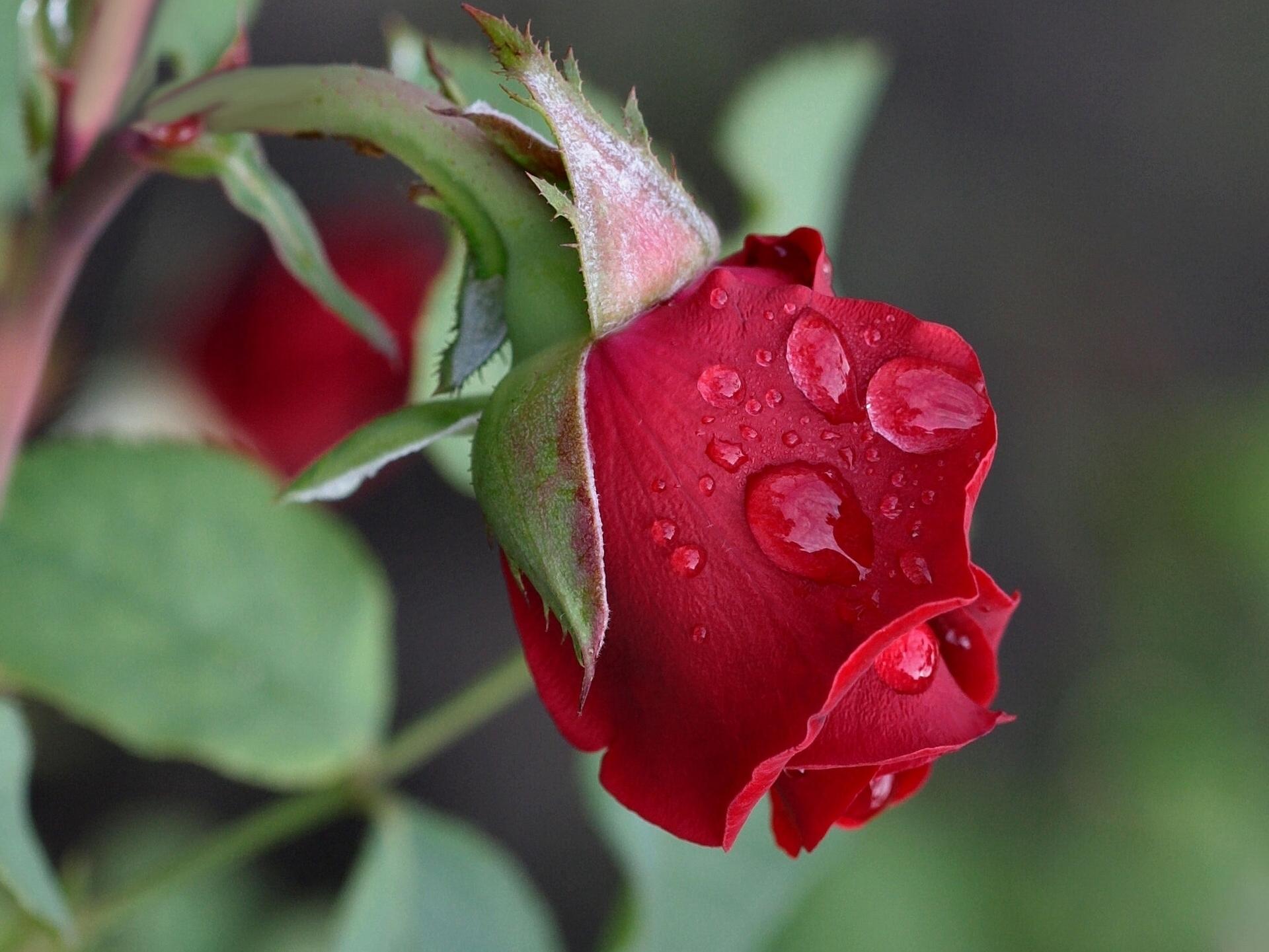 красные розы листья стебли скачать