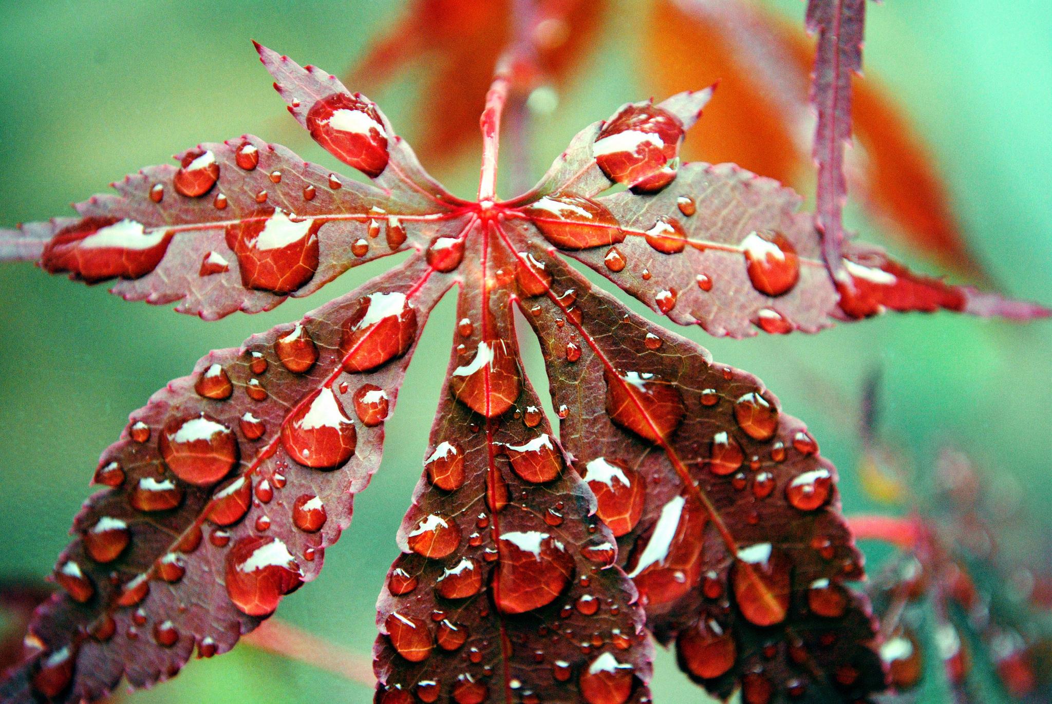 Листья в каплях бесплатно