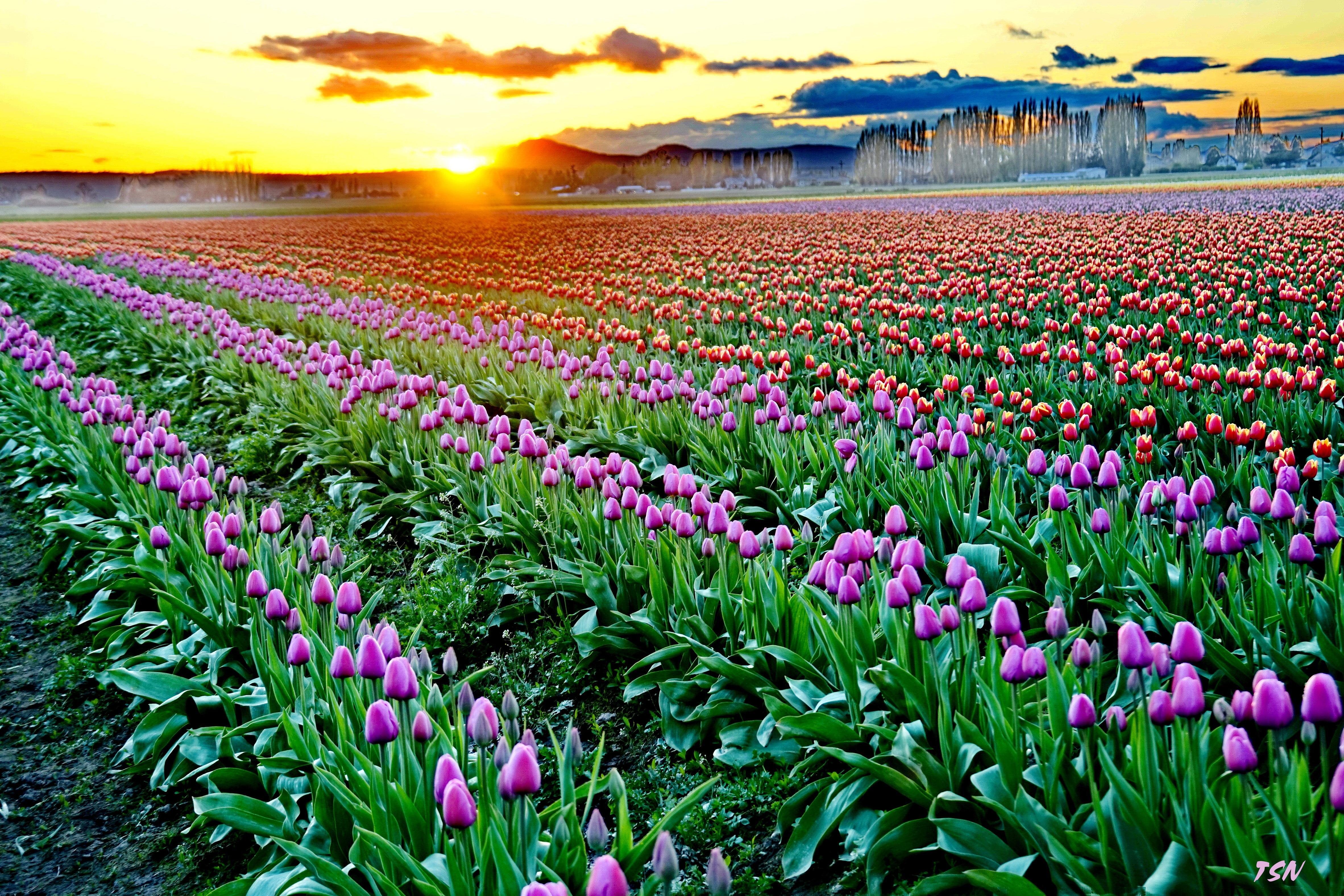 тюльпаны поле закат бесплатно