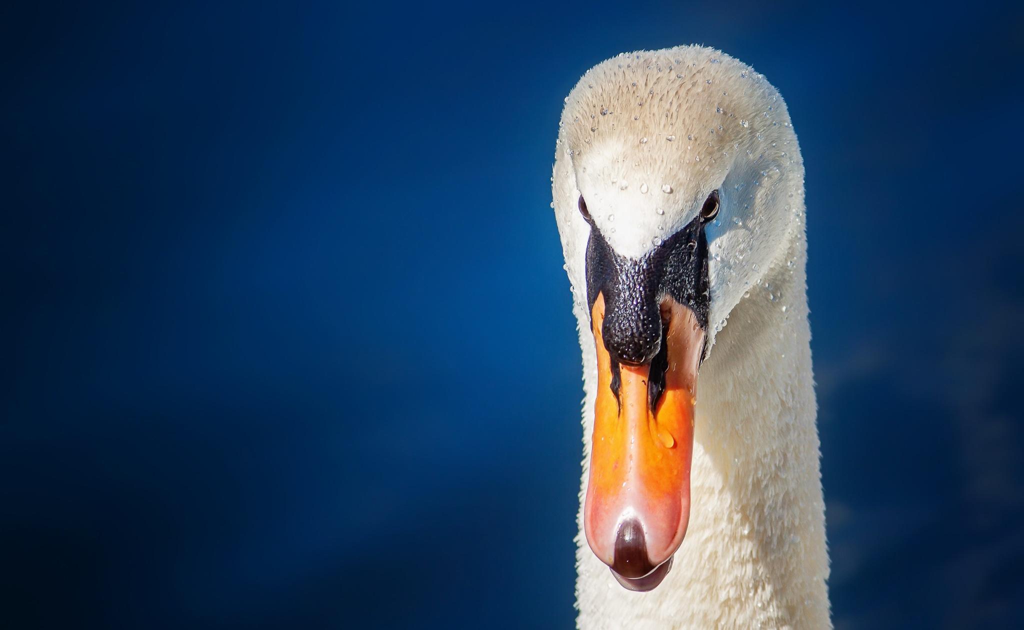 Фотография Лебеди Клюв вблизи Голова Животные Крупным планом