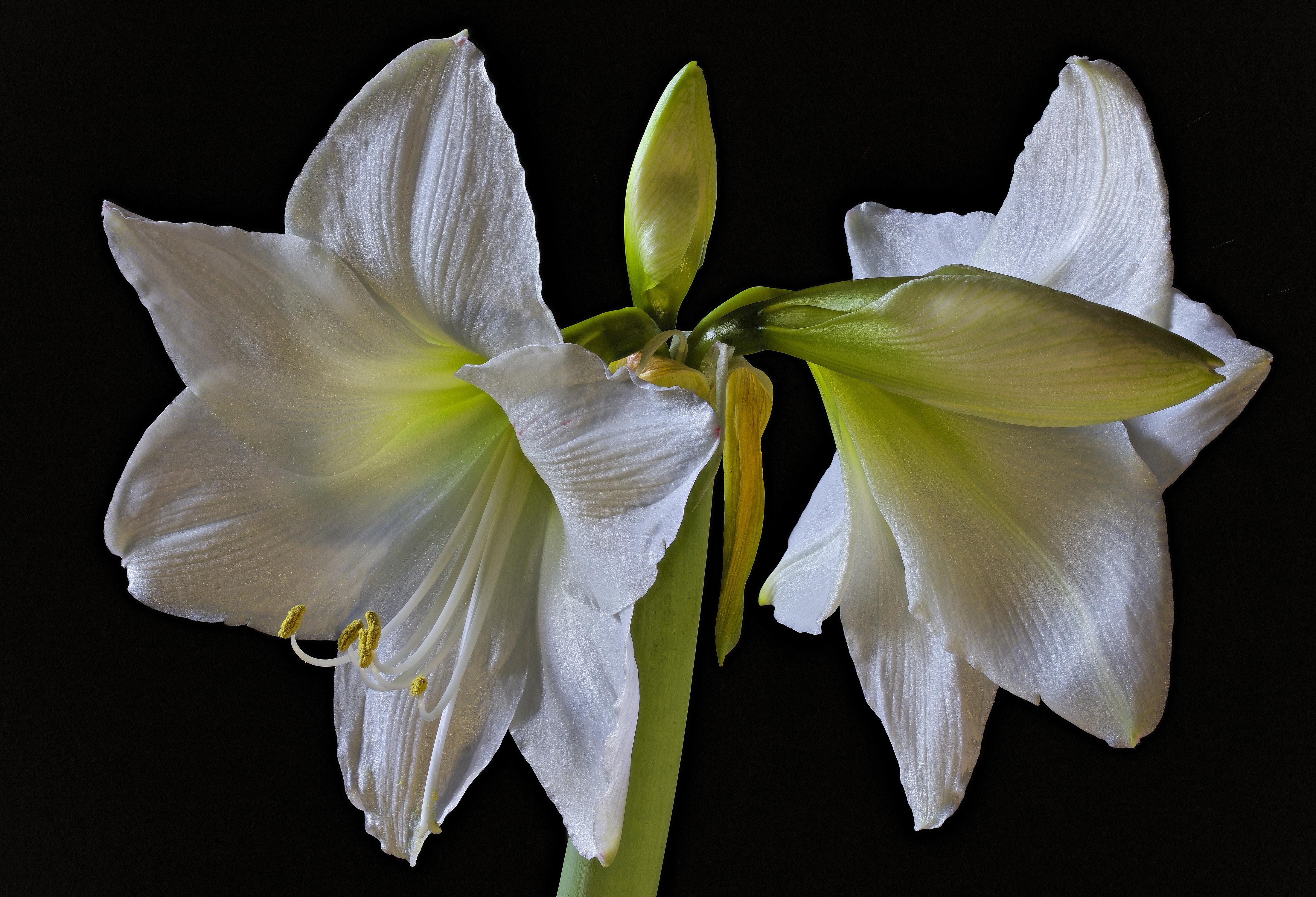 Картинки белые Цветы Амариллис Бутон Черный фон Крупным планом белых Белый белая цветок вблизи на черном фоне