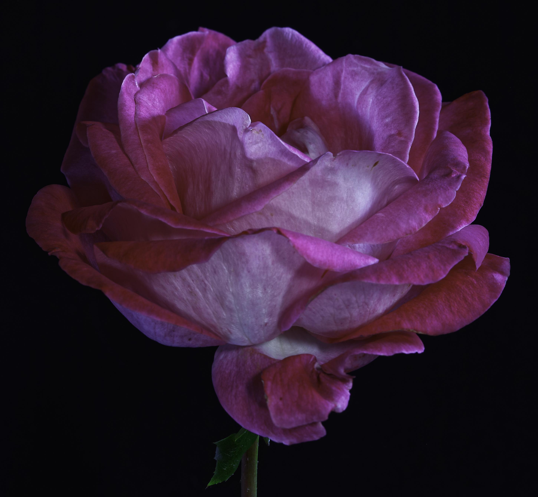 Картинки роза розовых Цветы на черном фоне Крупным планом Розы Розовый розовая розовые цветок вблизи Черный фон