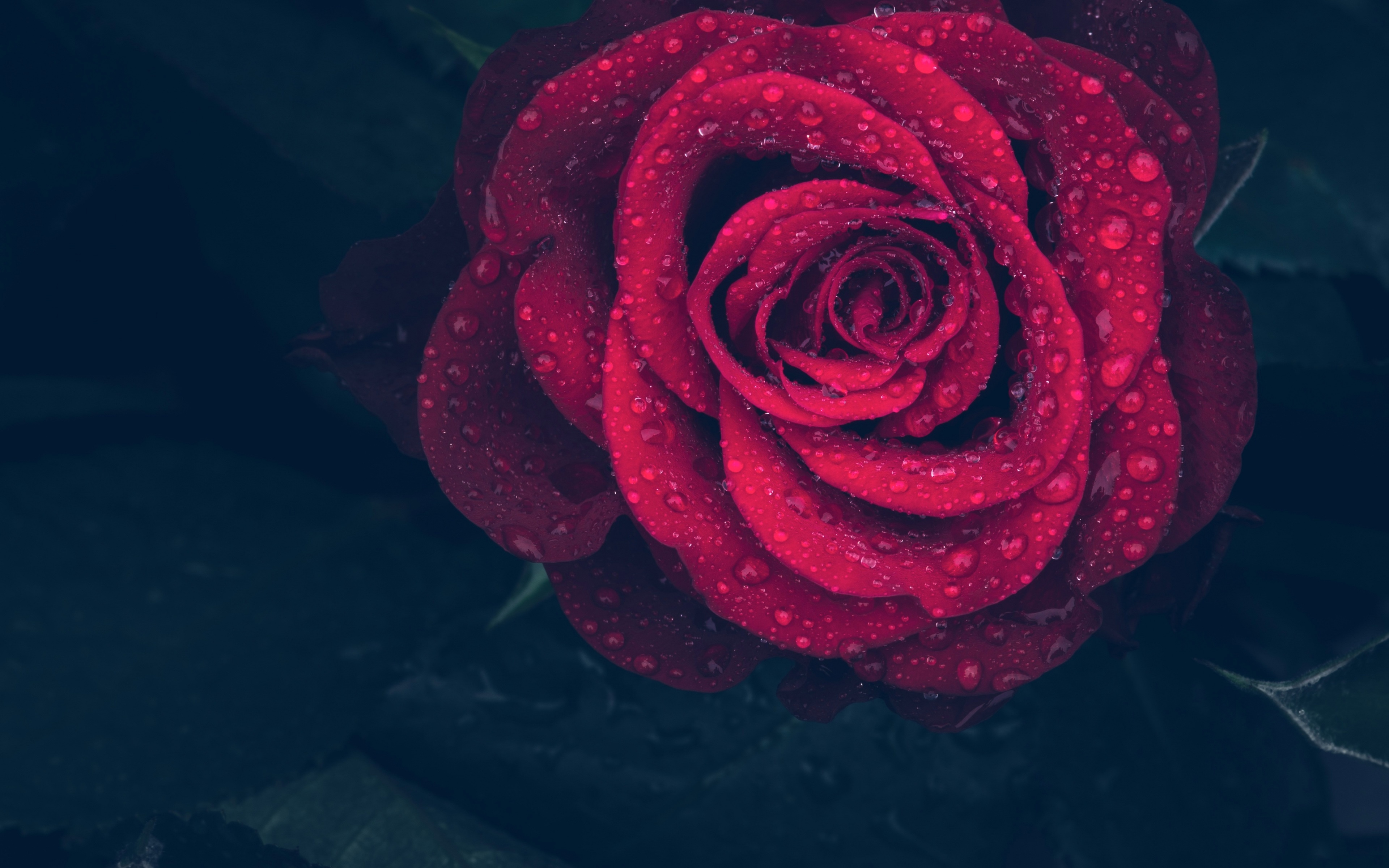 Обои капли, красная роза. Цветы foto 15