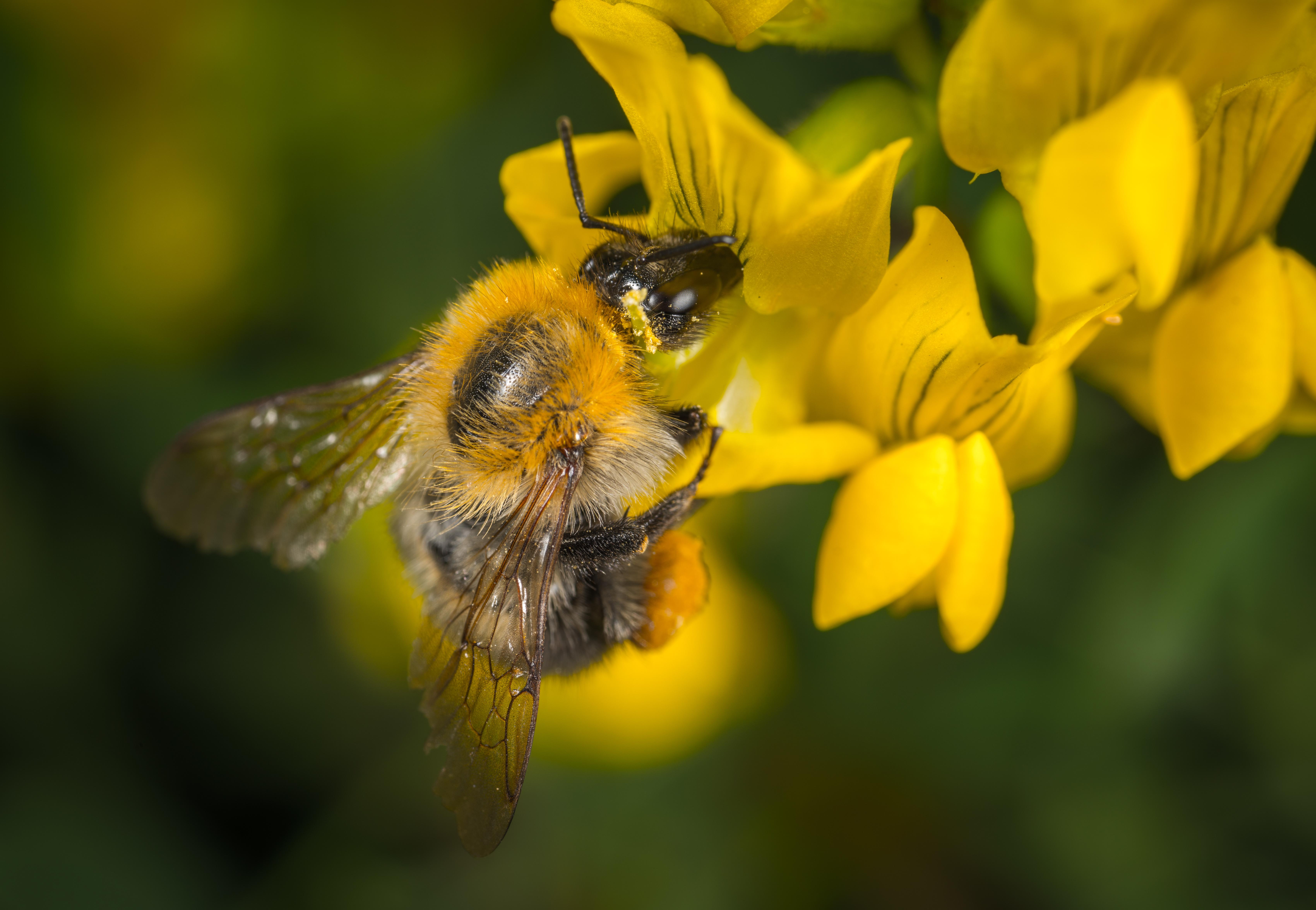 Обои для рабочего стола Пчелы насекомое боке вблизи животное Насекомые Размытый фон Животные Крупным планом