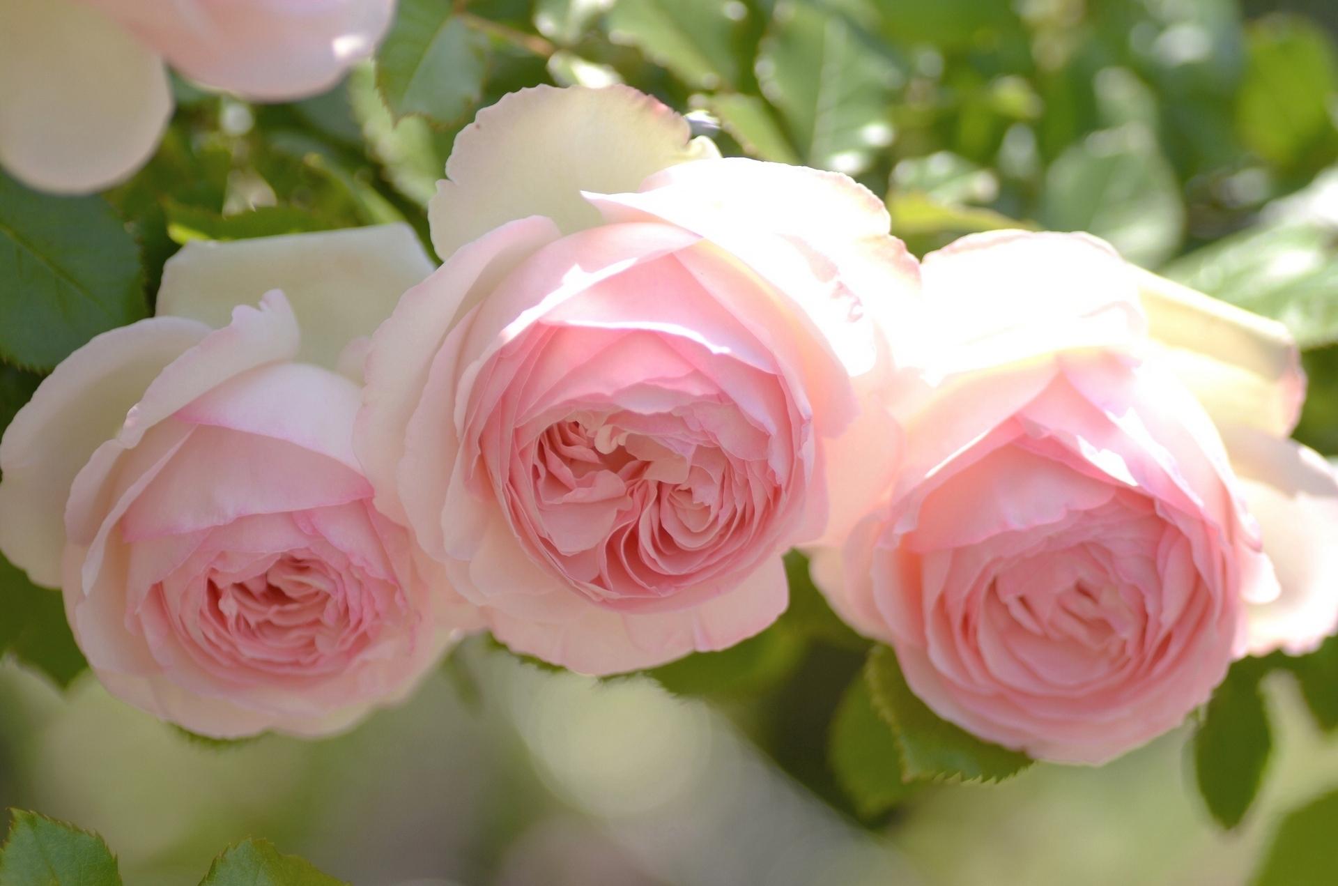 Розовая роза скачать