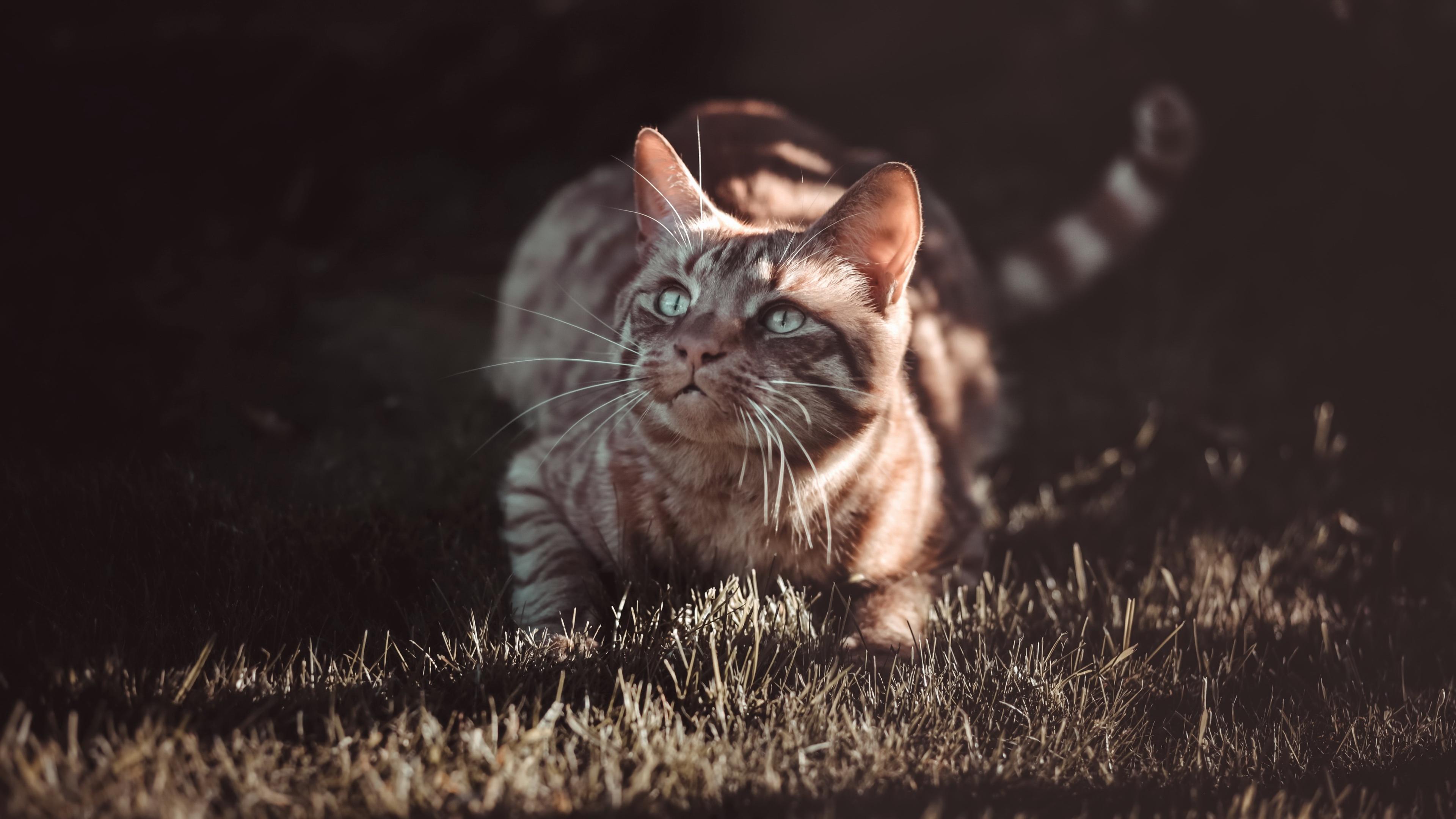 Картинка кот Трава Взгляд животное 3840x2160 коты Кошки кошка траве смотрит смотрят Животные