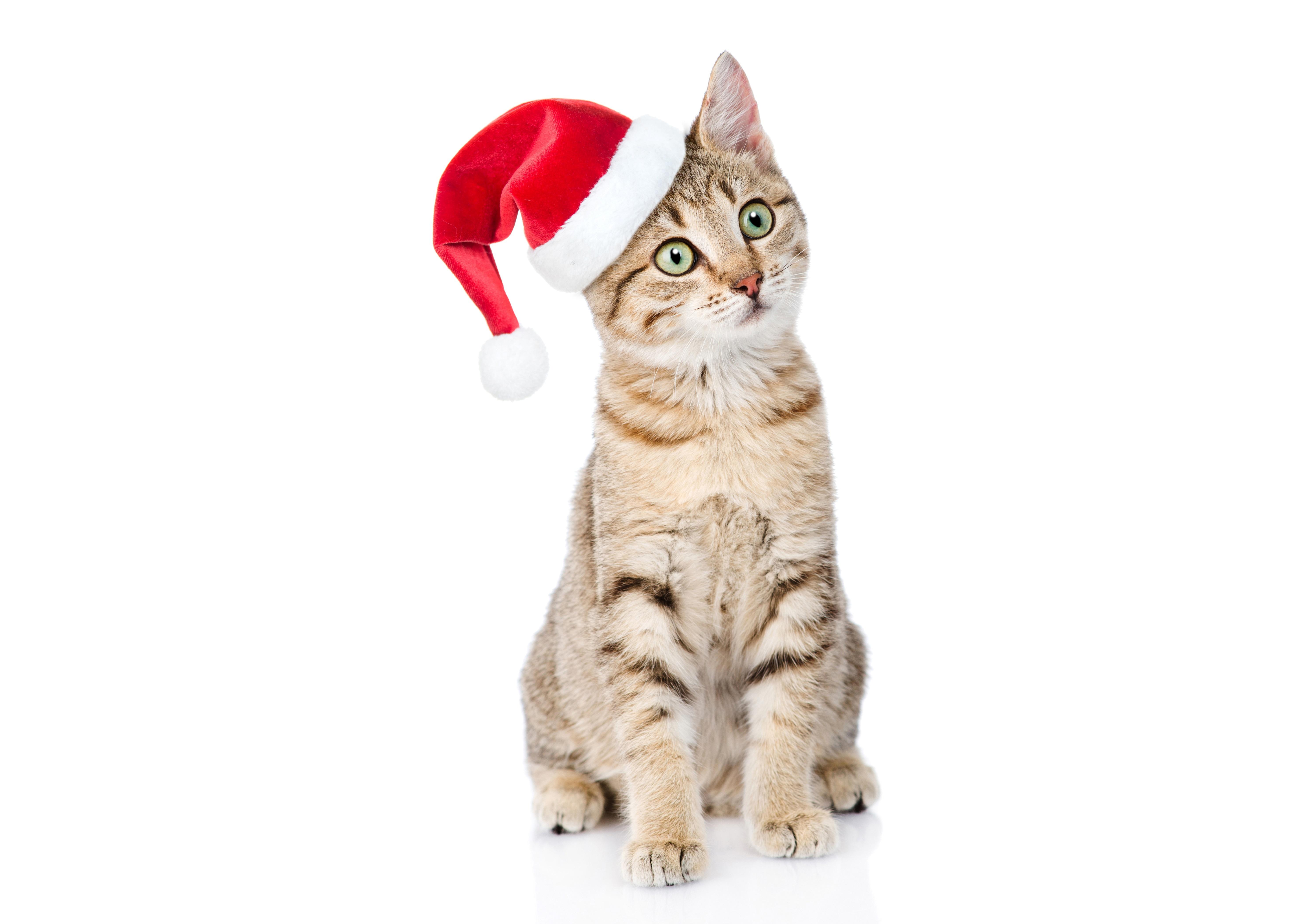 Фото Кошки Новый год в шапке Сидит смотрит животное белым фоном 5968x4200 кот коты кошка Рождество Шапки шапка сидя сидящие Взгляд смотрят Животные Белый фон белом фоне