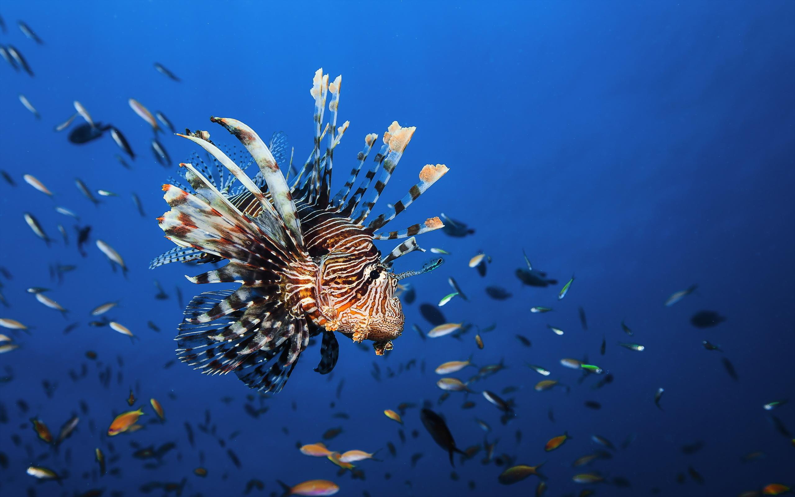 Картинки Рыбы Подводный мир lionfish животное Животные