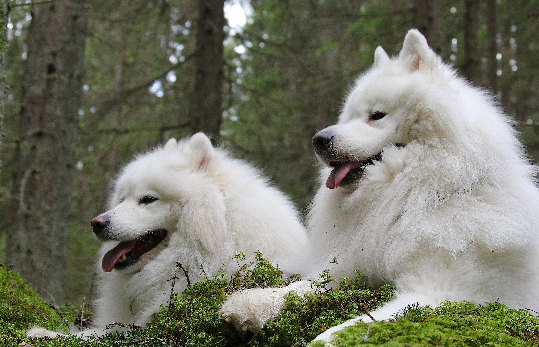 белый щенок самоед без смс