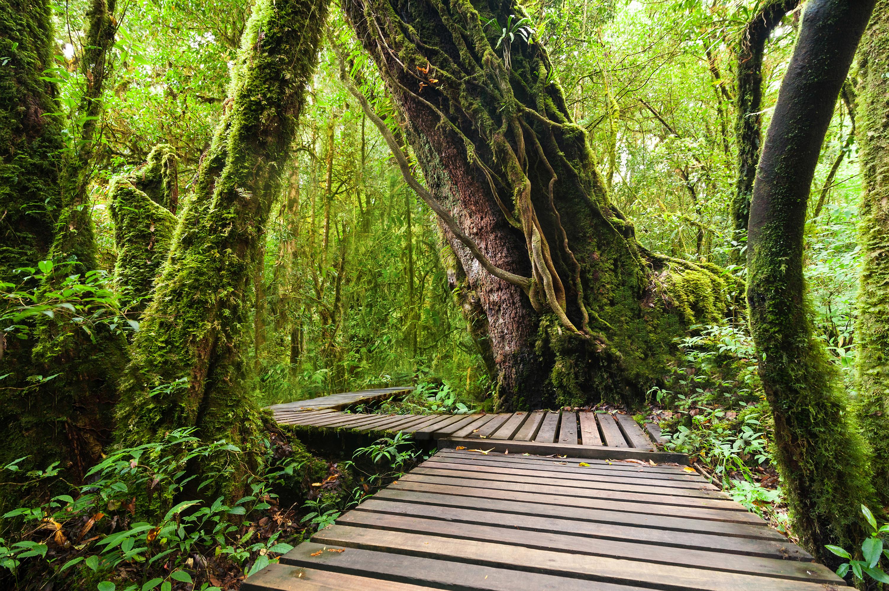 Обои для рабочего стола Таиланд Doi Inthanon National Park Природа лес Парки Тропики Ствол дерева Мох 3005x2000 Леса парк тропический мха мхом