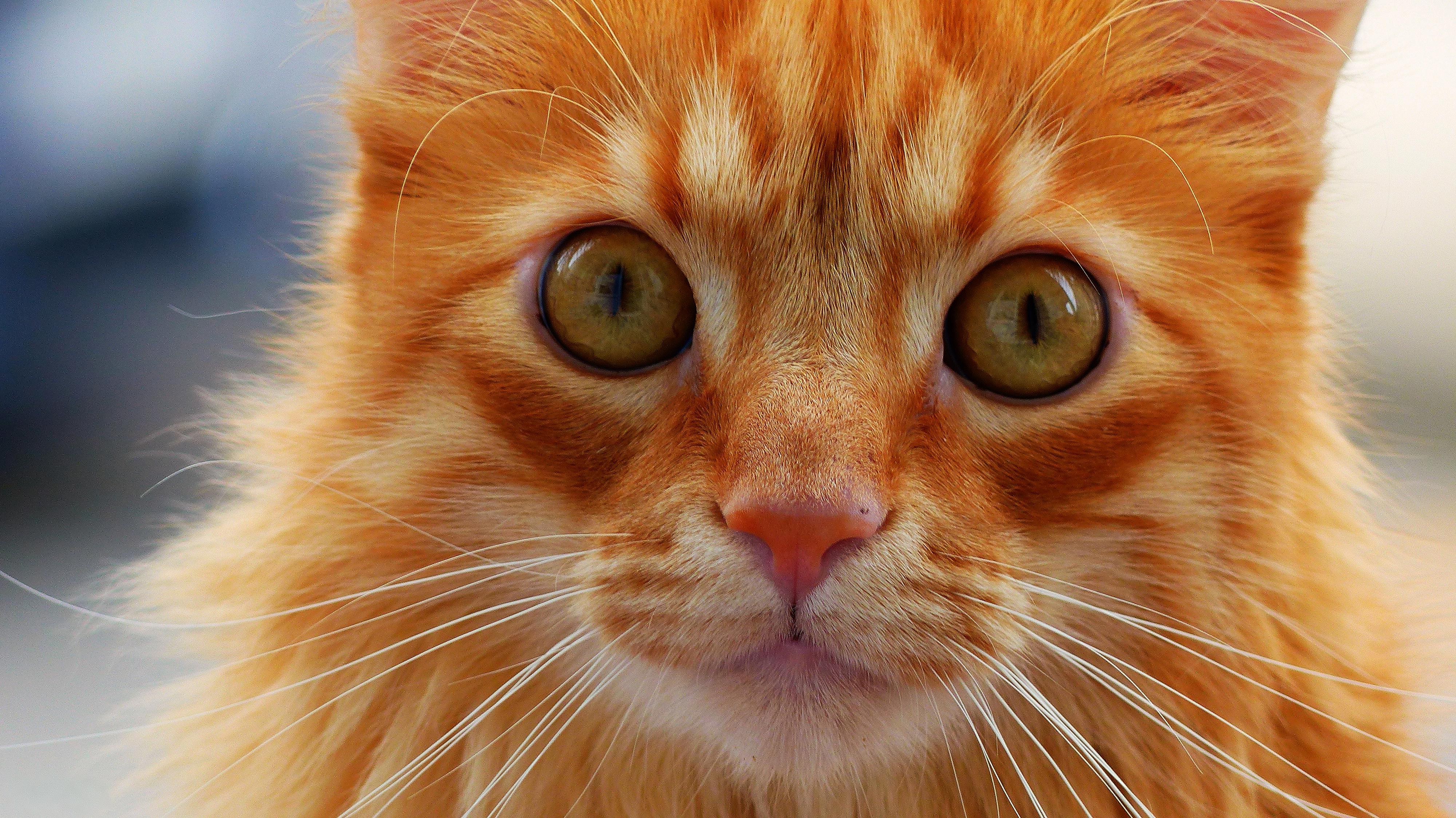 рыжий кот природа морда животное бесплатно