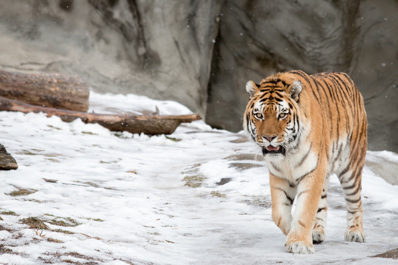 тигр на снегу загрузить