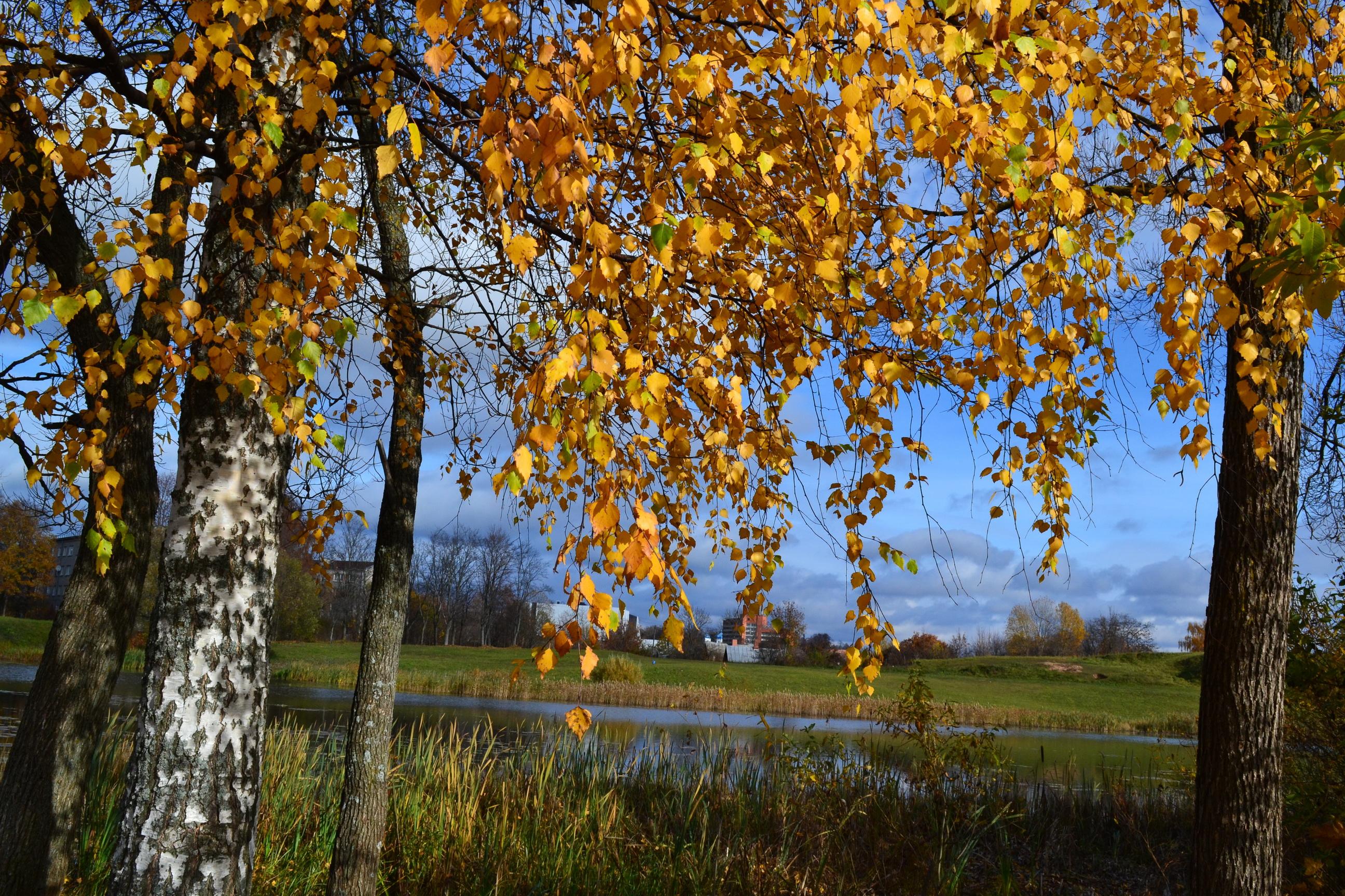 природа деревья березы осень бесплатно