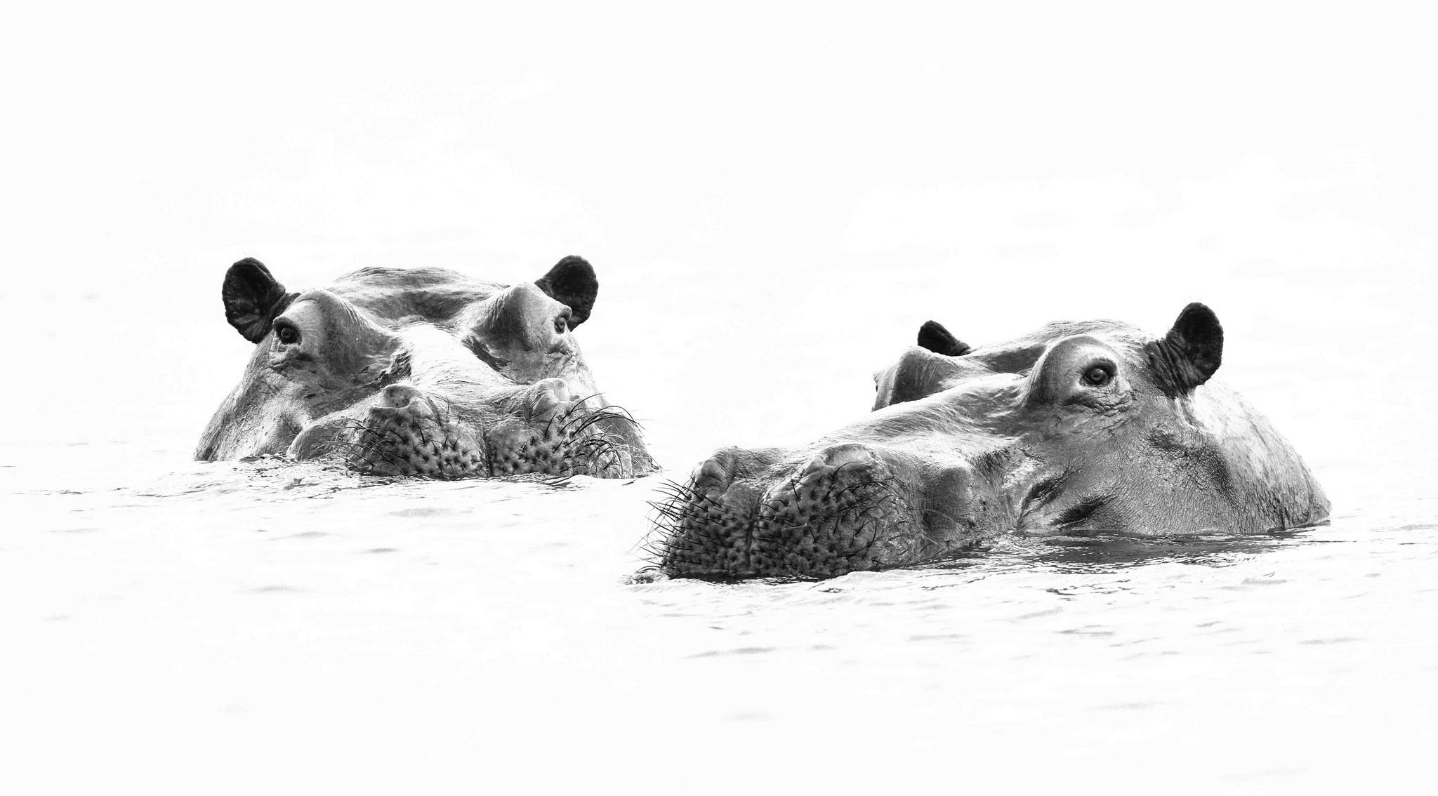 Картинки Гиппопотамы два Вода головы Животные Бегемоты 2 две Двое вдвоем воде Голова животное