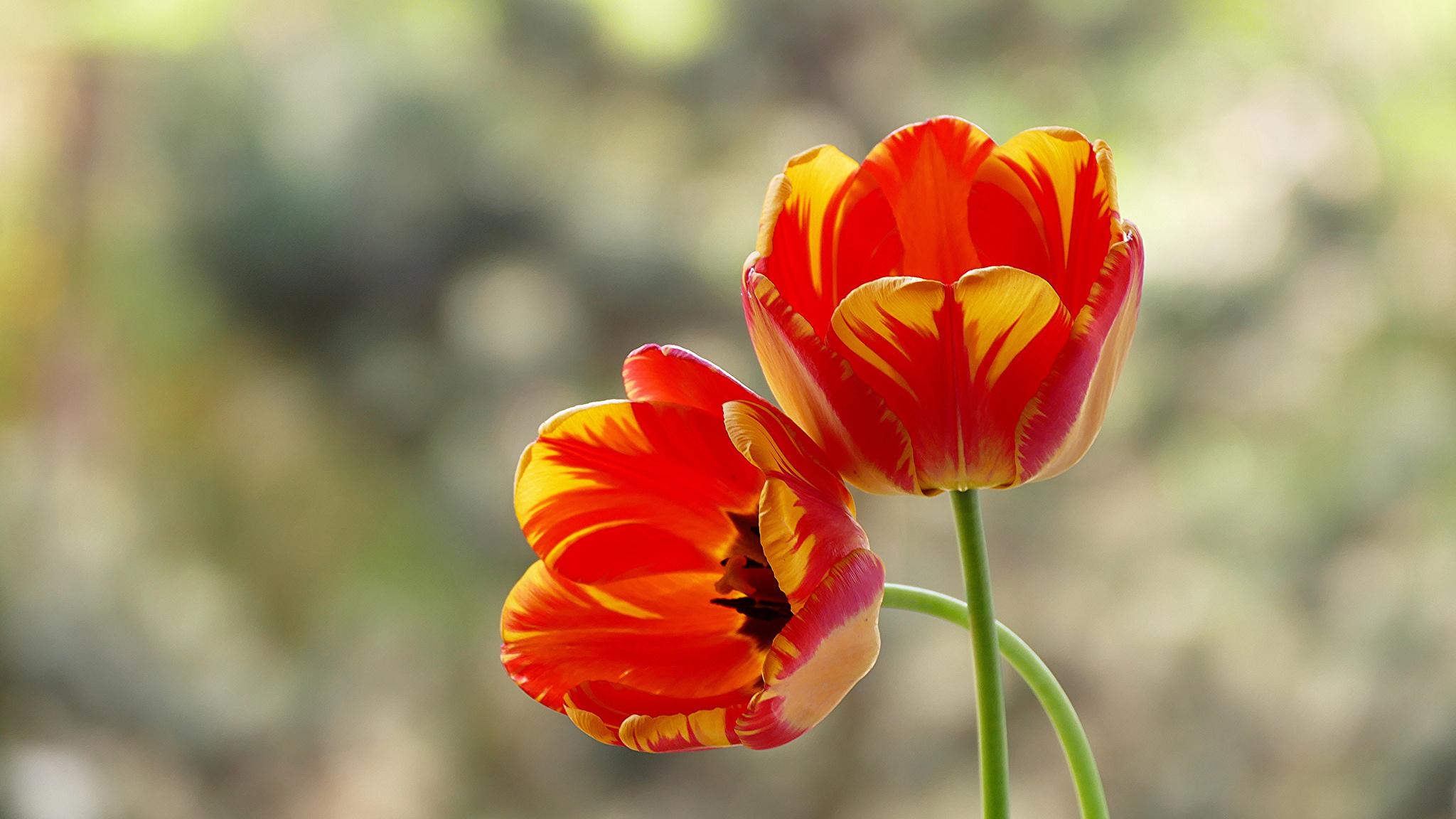 Нераскрывшийся тюльпан анонимно