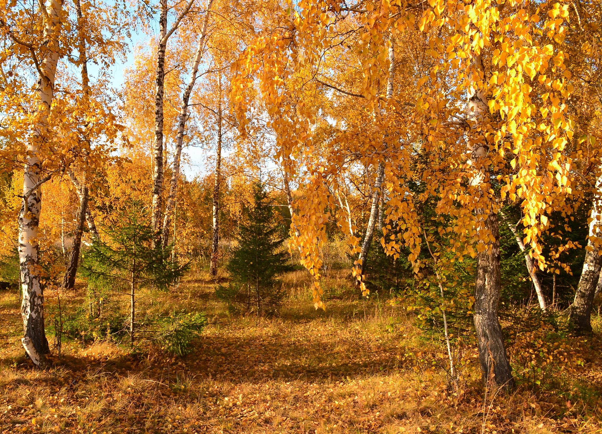 Березы осень лес деревья бесплатно