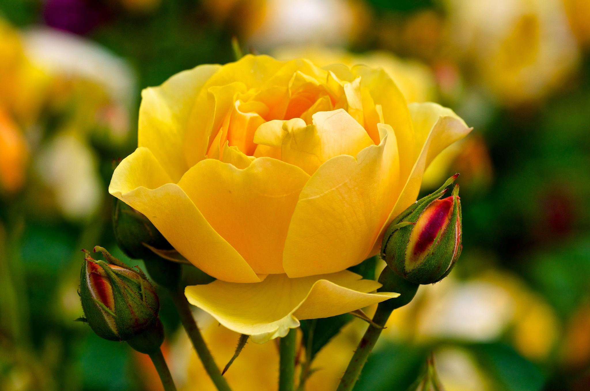 природа цветы желтые розы nature flowers yellow rose бесплатно