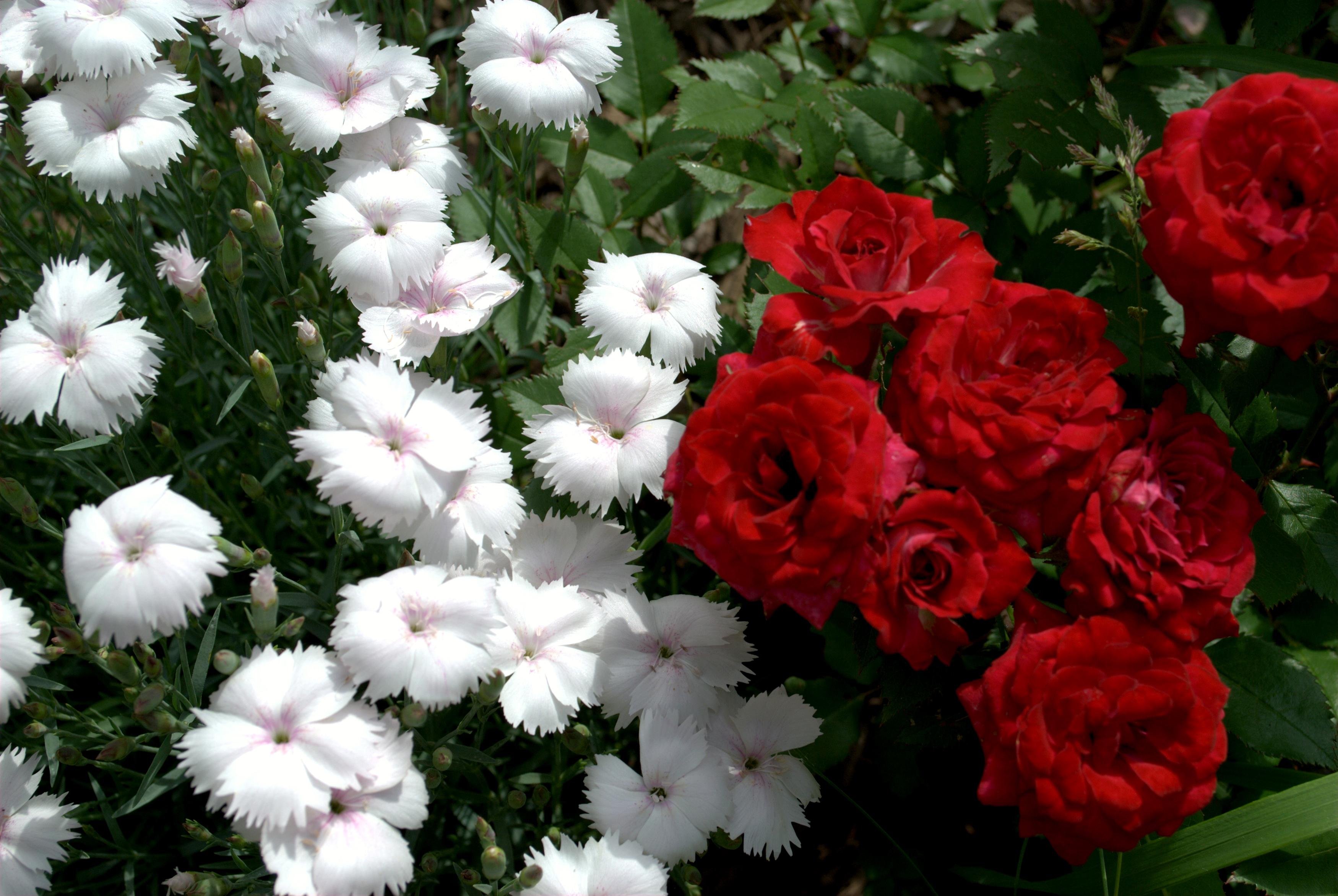 Roses_Carnations_Closeup_485193.jpg