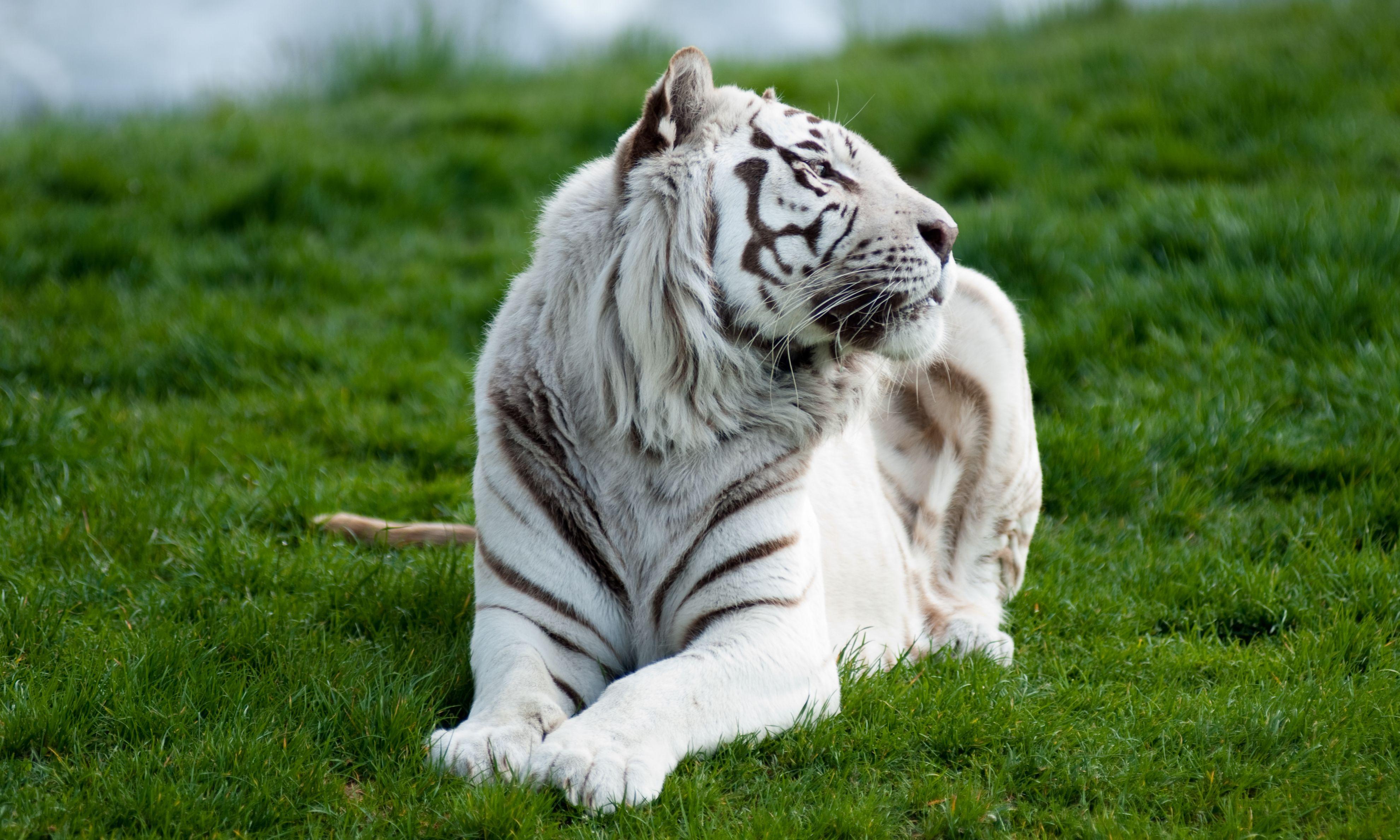 Тигр лежа в траве загрузить